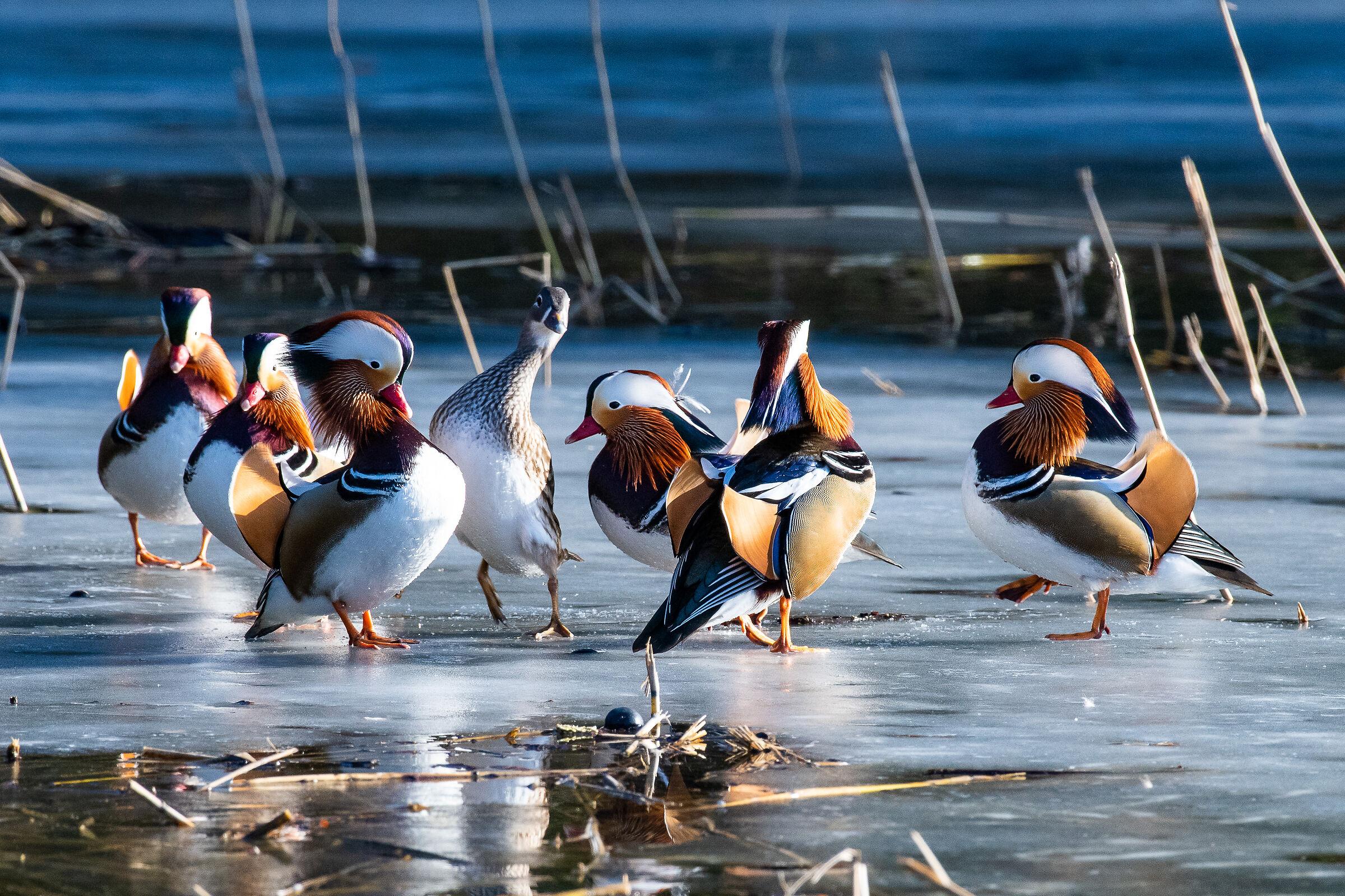 The Mandarin Duck Dance...