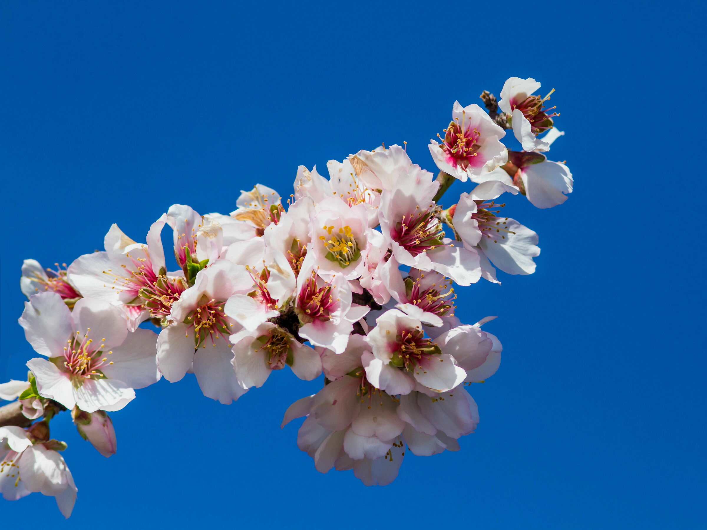 The explosion of the almond tree...