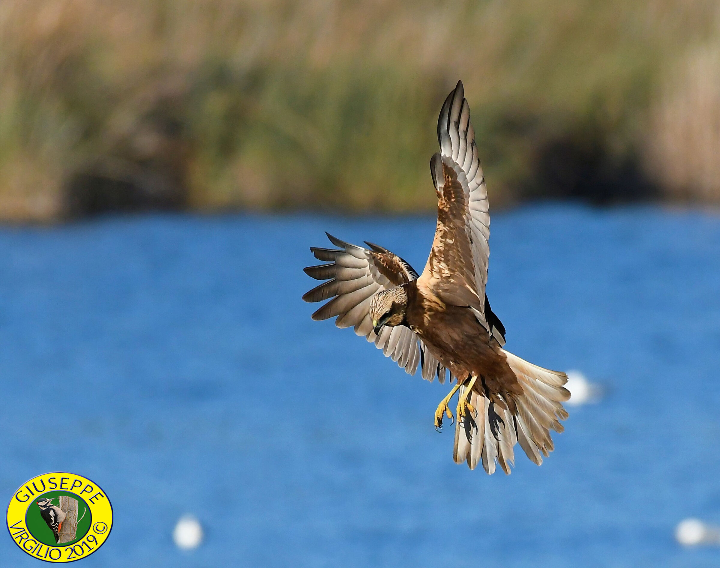 Marsh Hawk-North Sardinia- ...