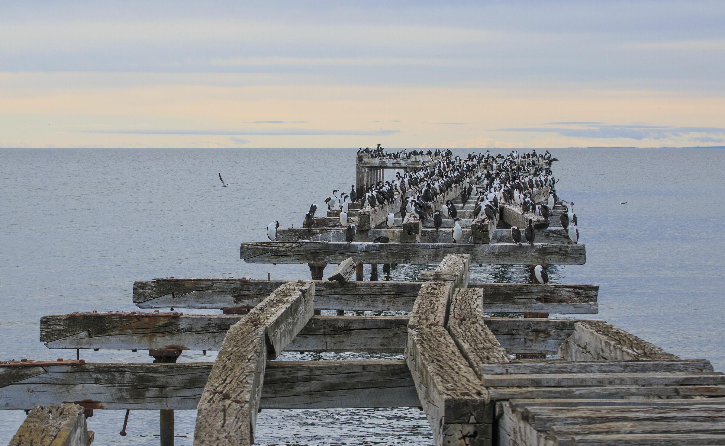 Imperial Cormorants...