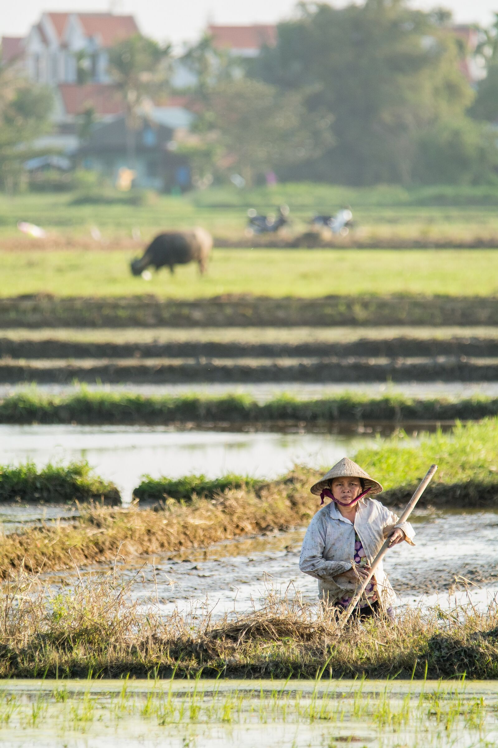 Rice Paddies-portray...