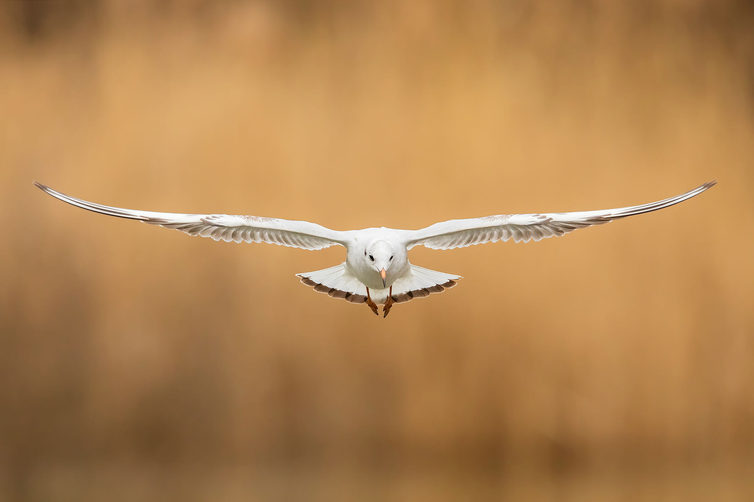 Common Seagull...