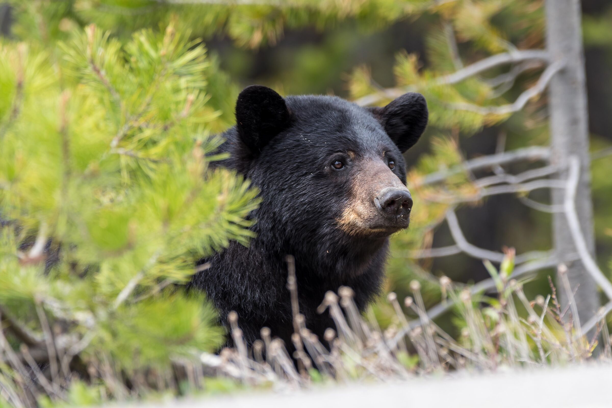 Black Bear...