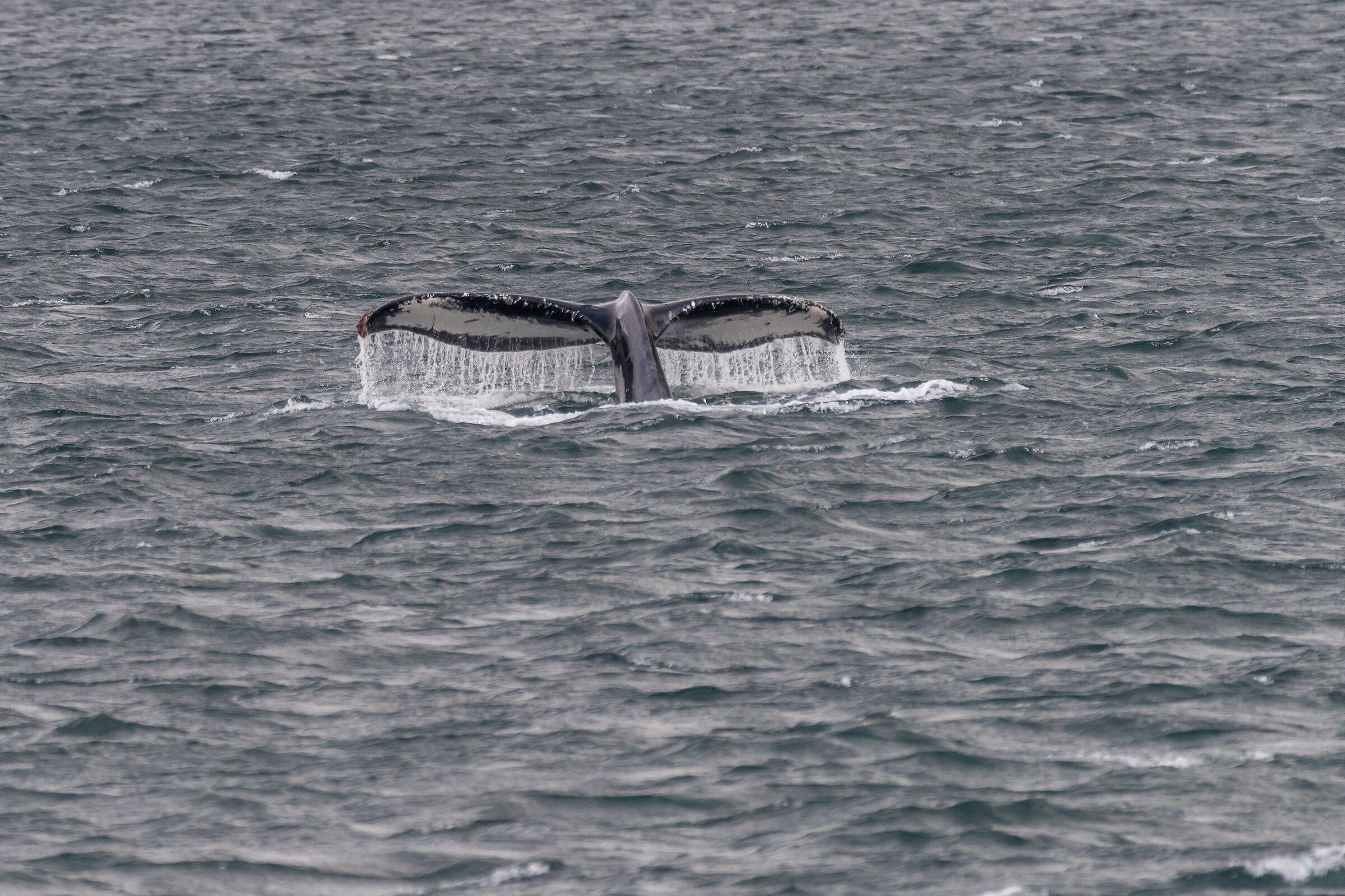 Humpout Whale...