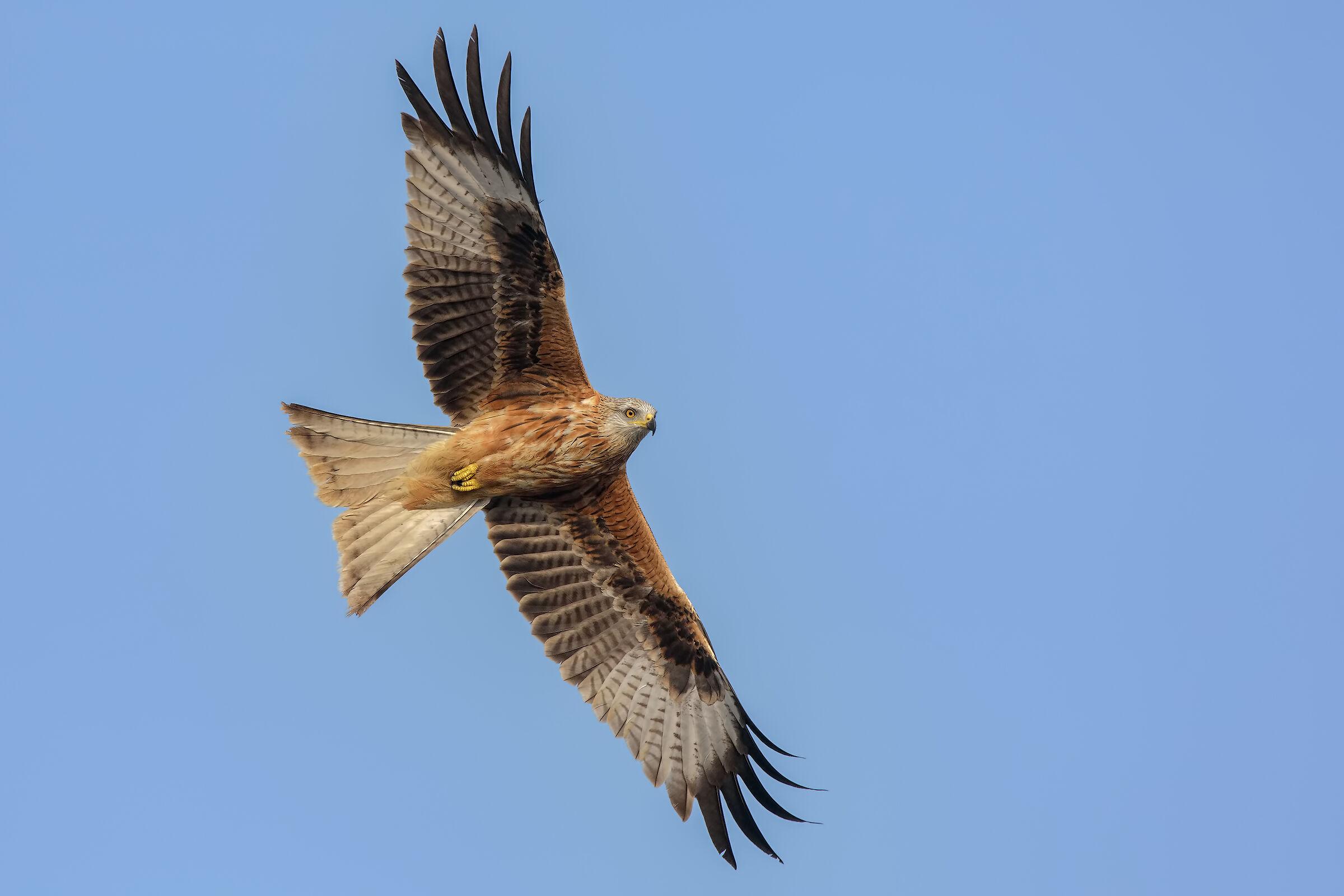 Royal Kite (Milvus milvus)...