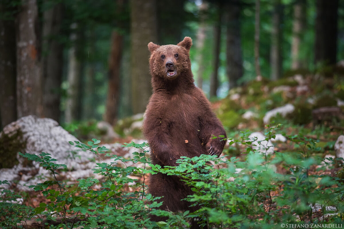 Brown Bear...