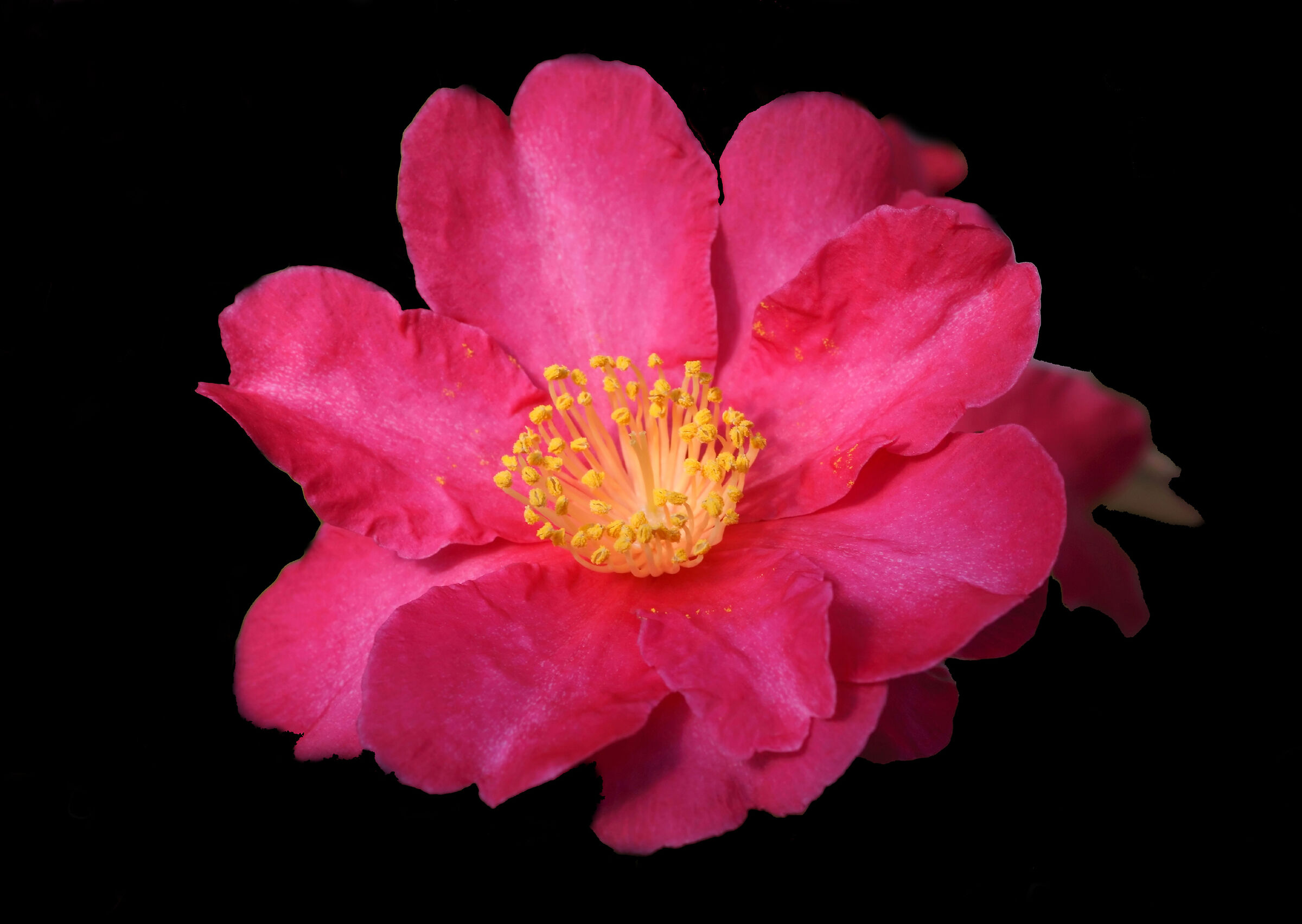 Camellia Sasanqua Black Background...