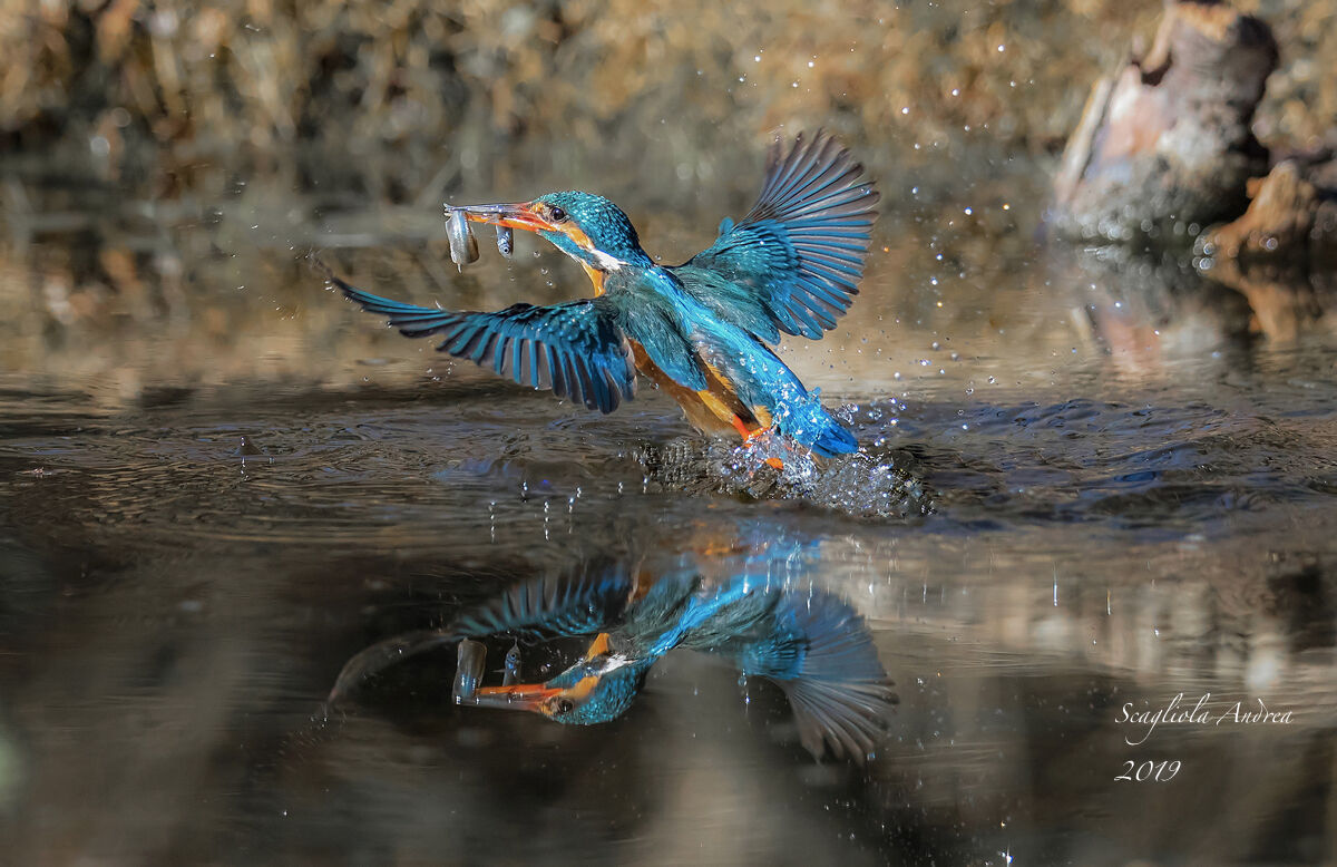 Kingfisher with double prey!!!!...