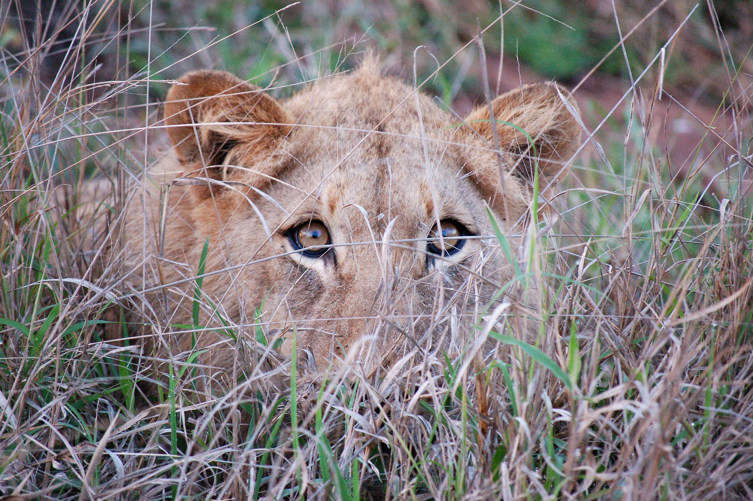 Sguardo inquietante di una leonessa al mattino...