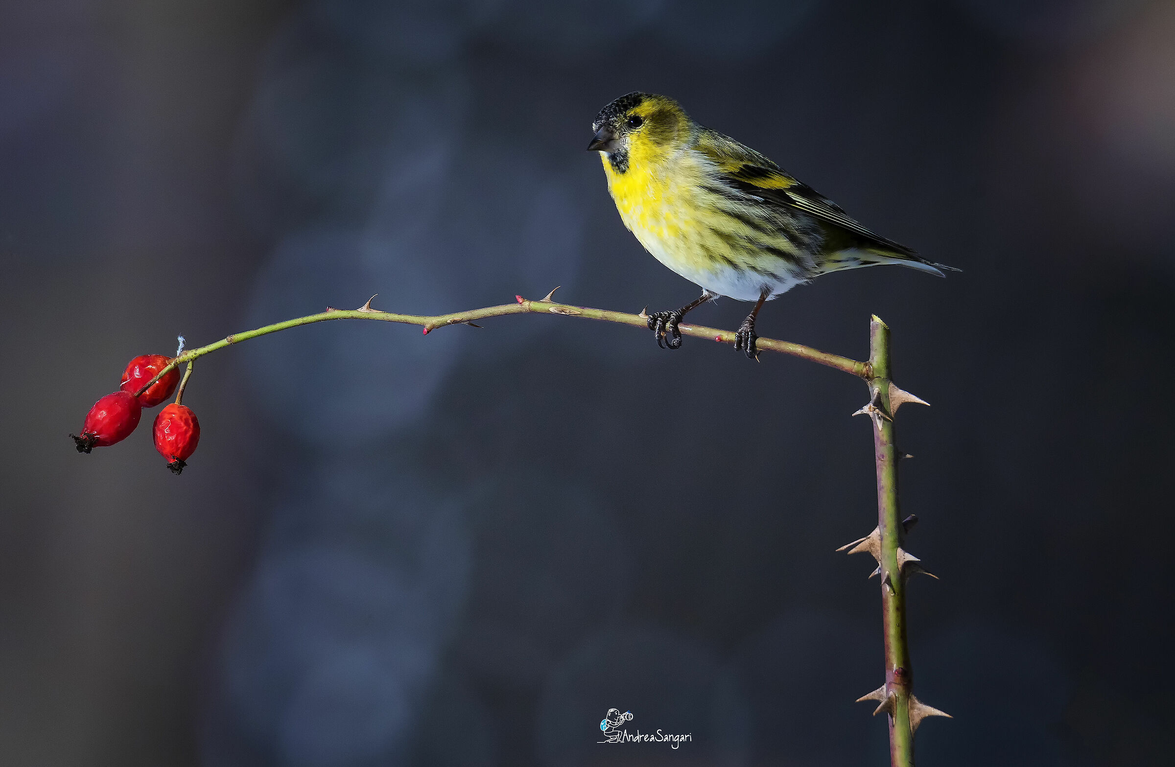 The Siskin and the Rose hips...