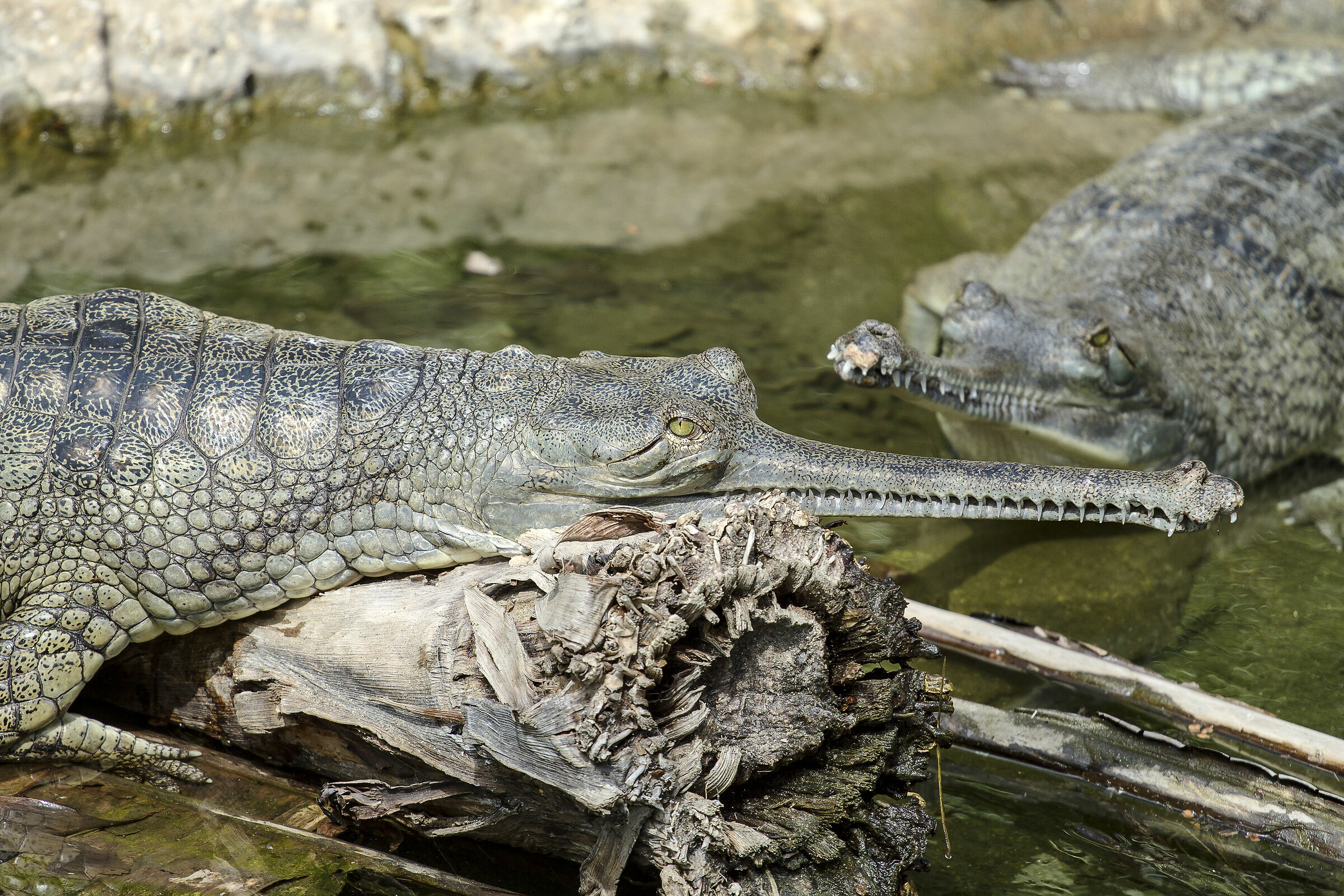 Slender-snouted Crocodile...