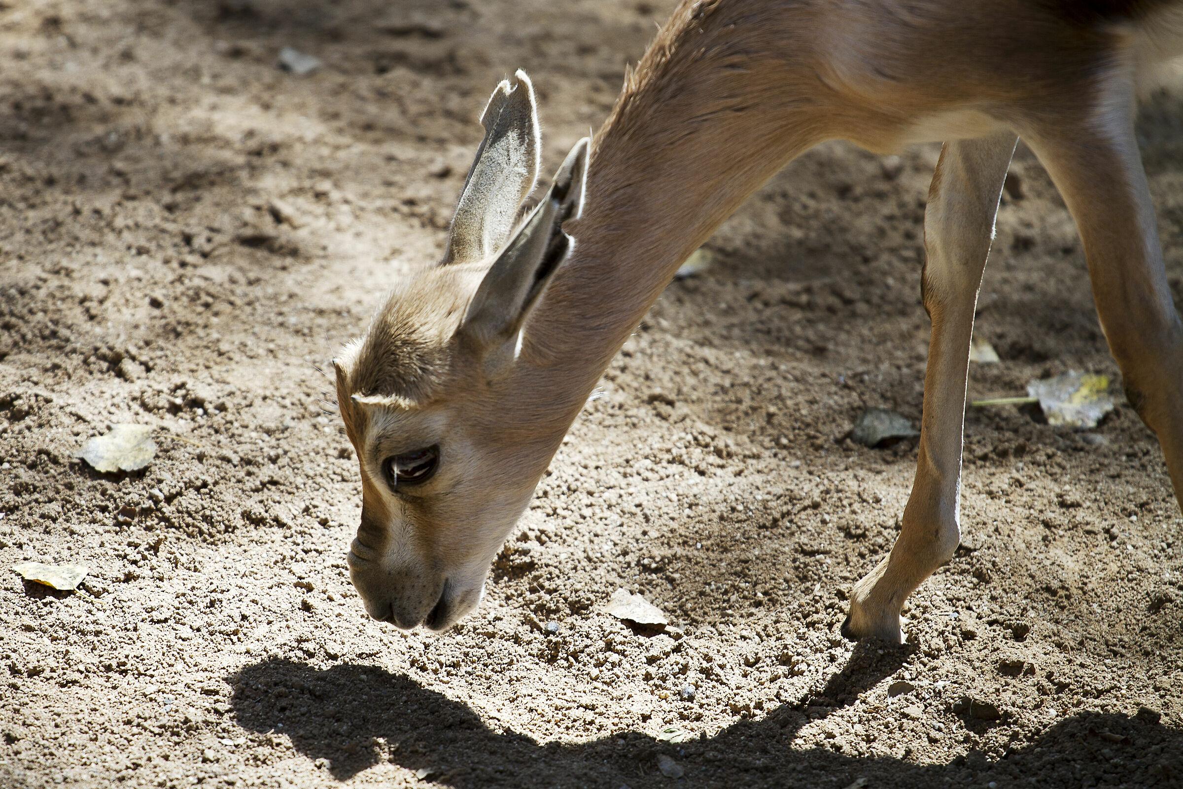 Antelope...