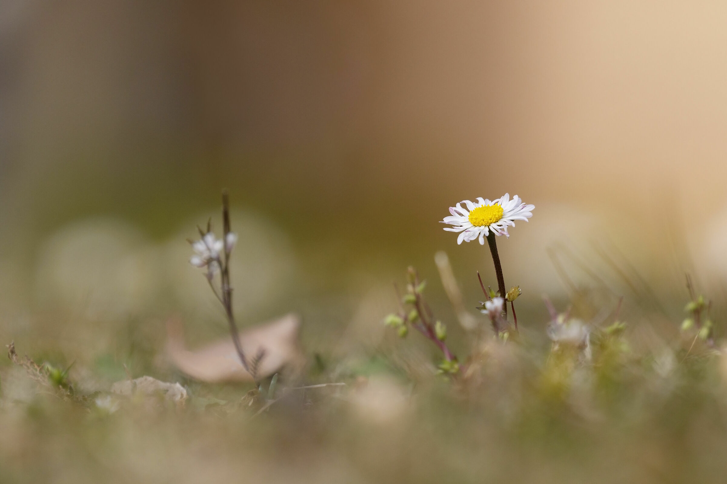 Pratolina (Bellis perennis)...