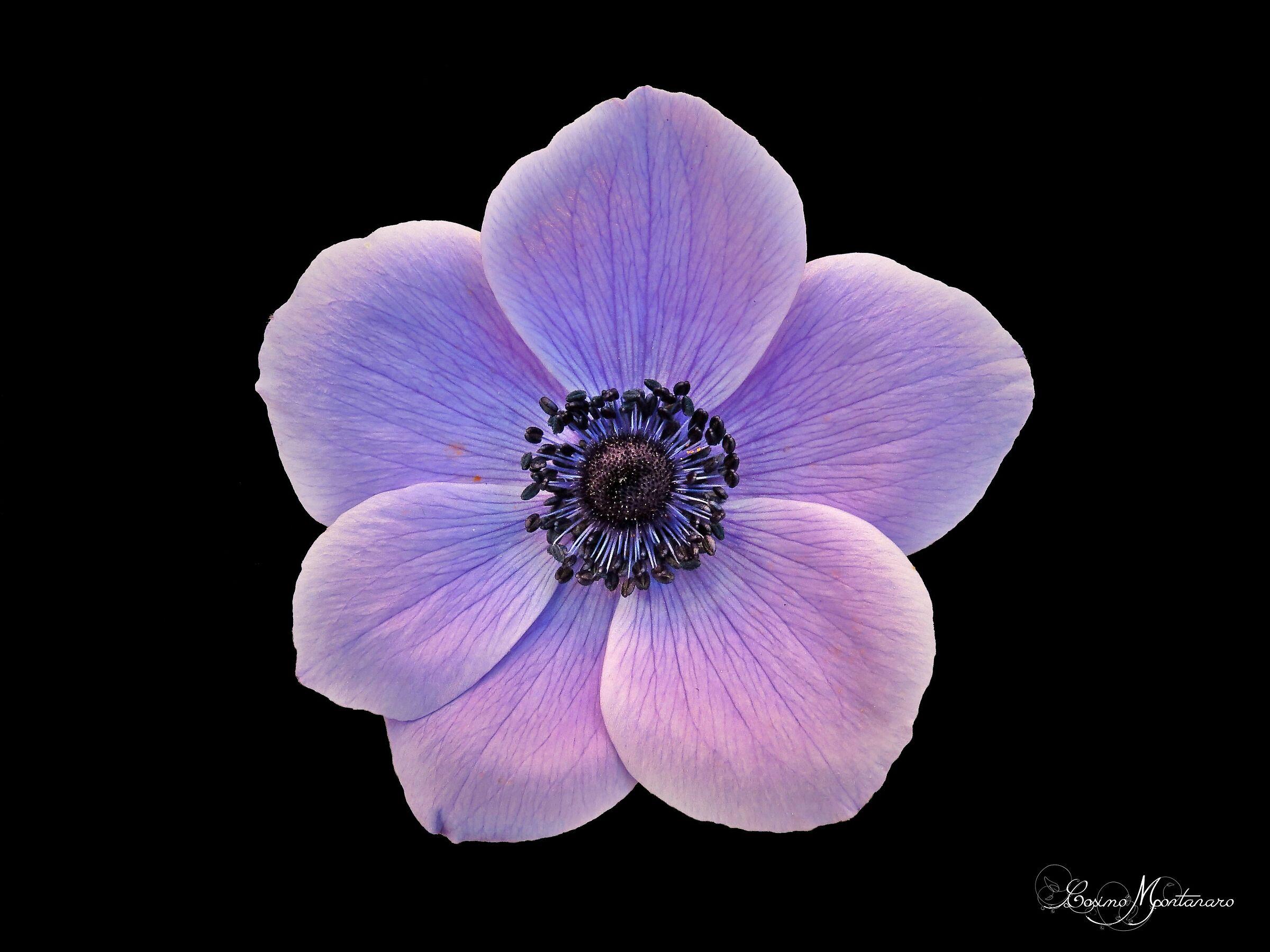 Coronary anemone ...