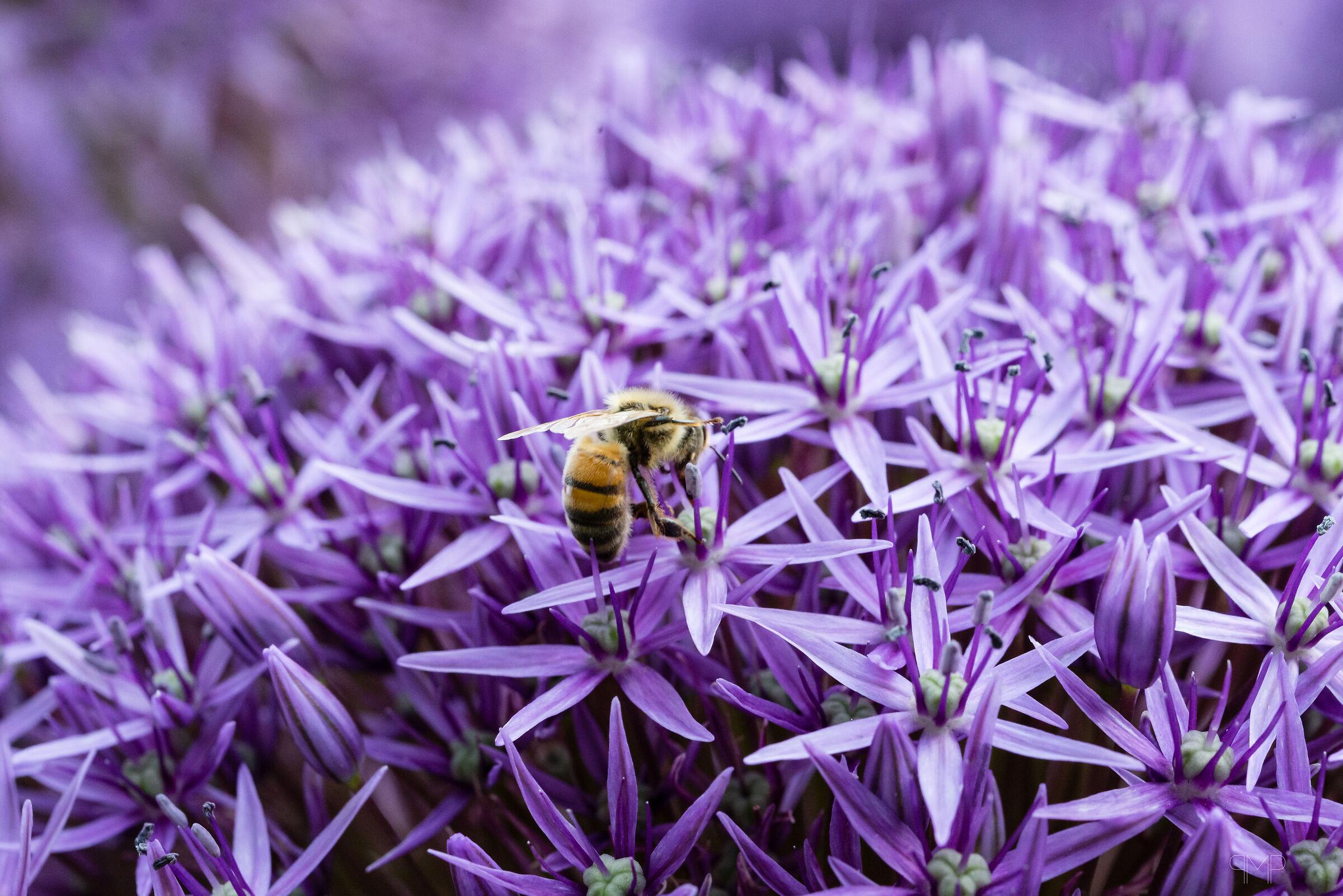 Impollinando un Allium...