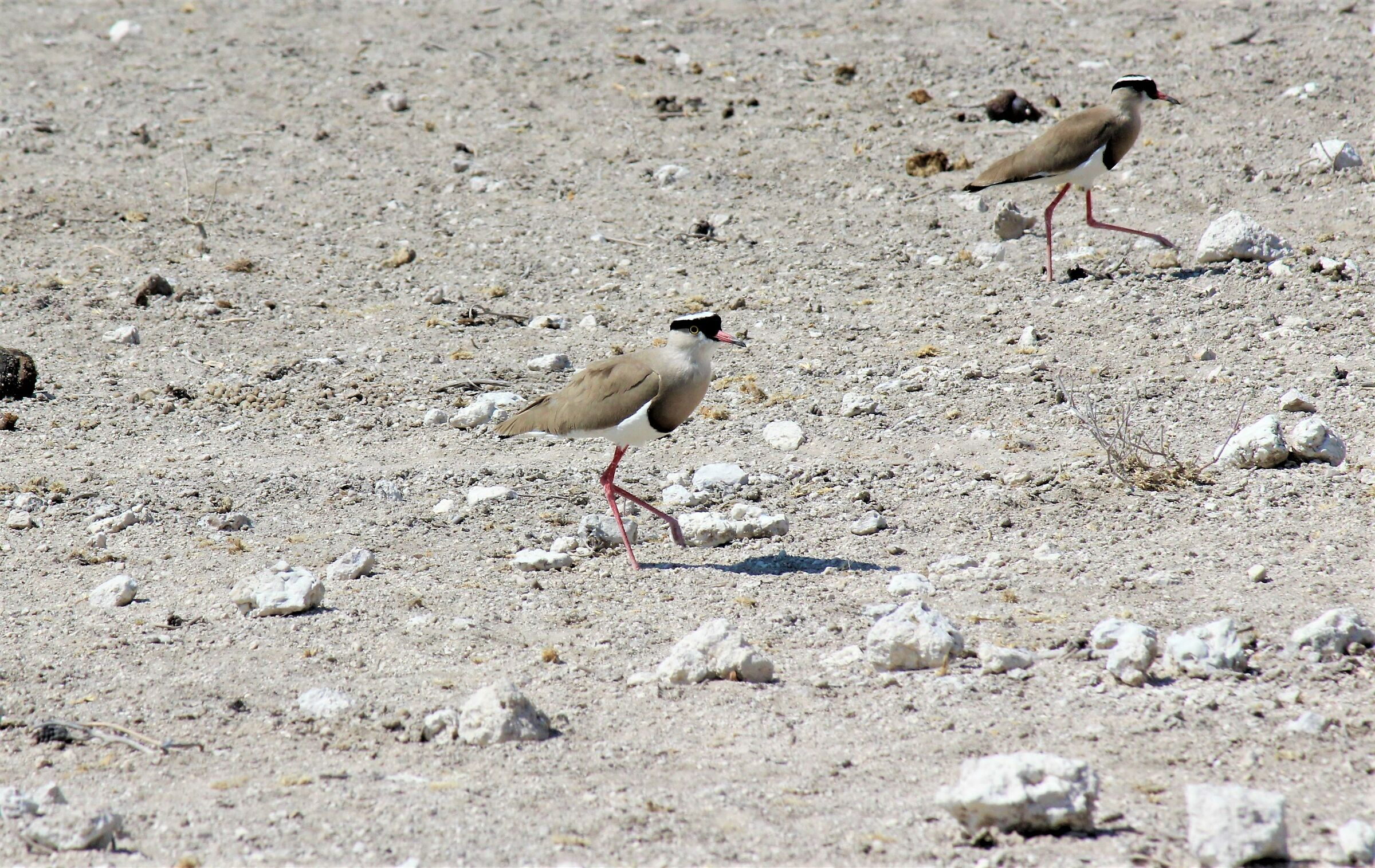 The march of the Panvonelle-crowned Lapwing ...
