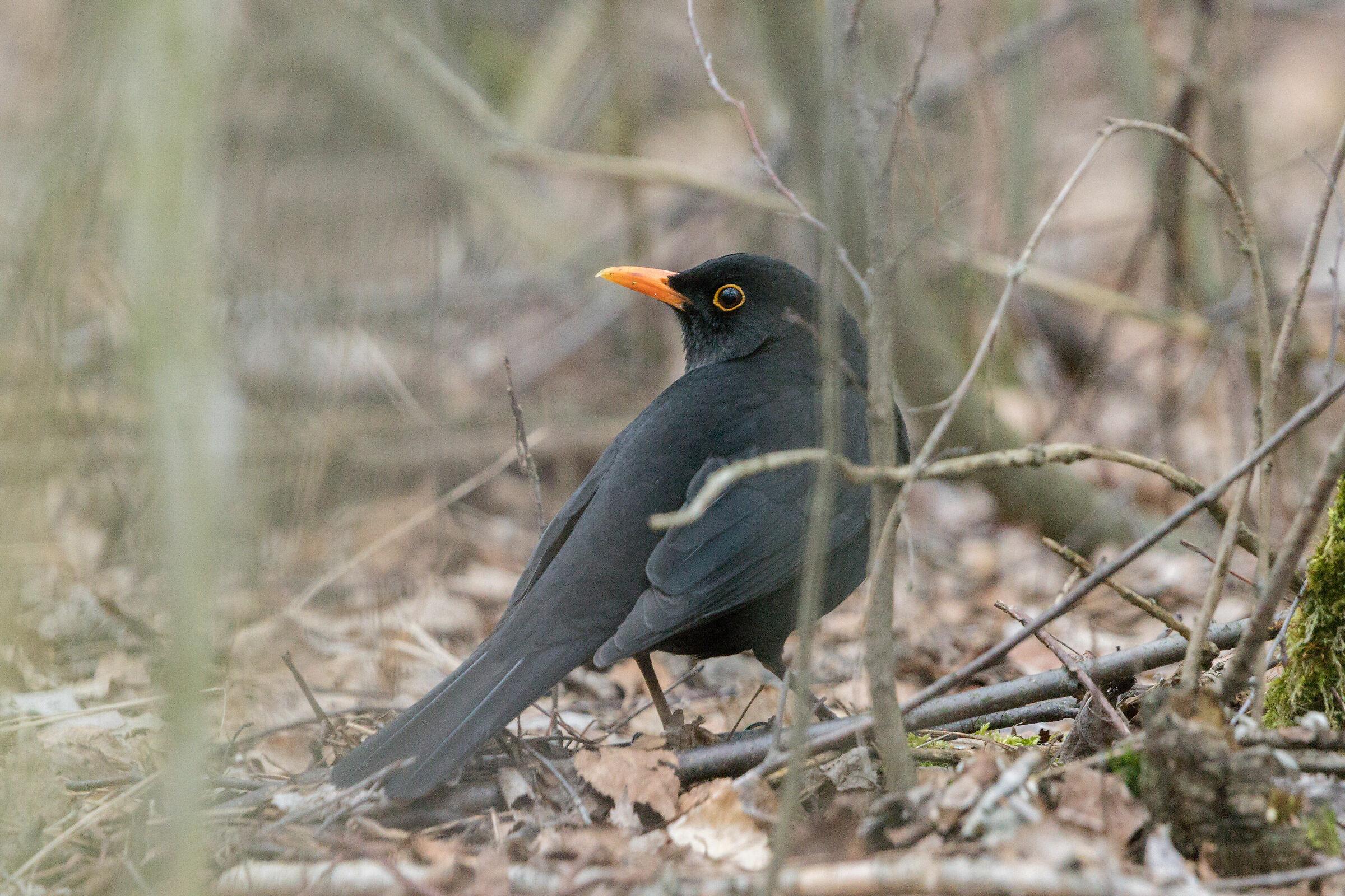 Common blackbird (Turdus merula)...