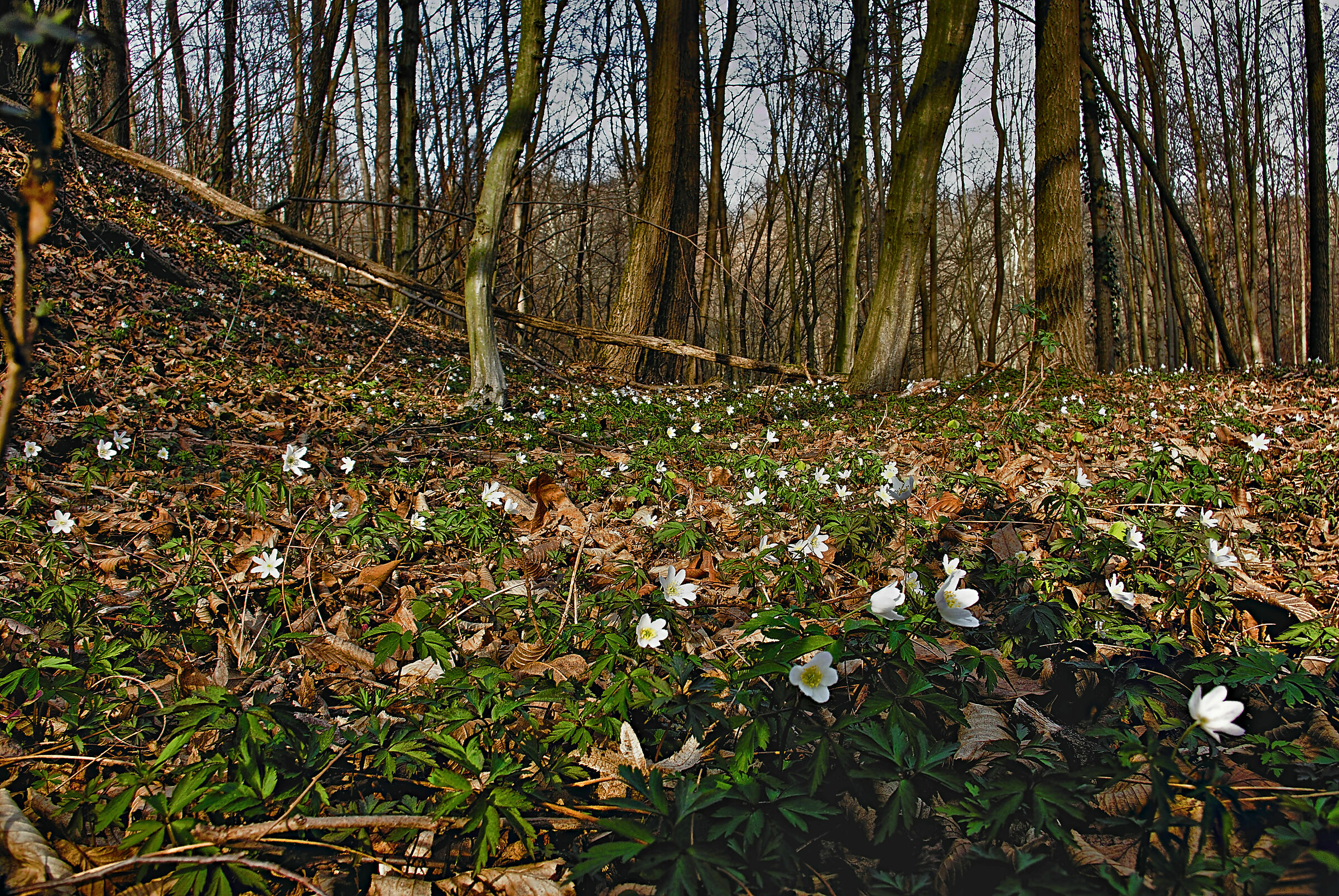 Forest anemones...