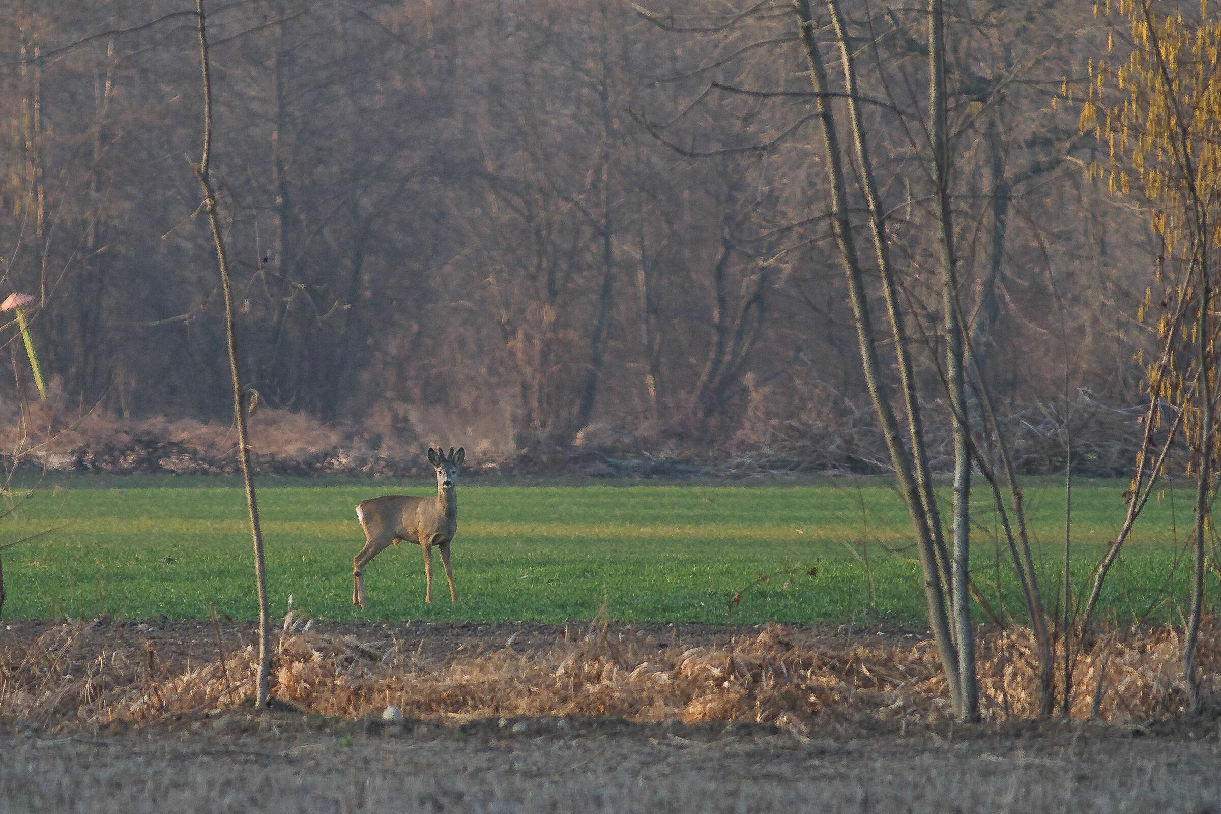 Roe Deer at 0 km...