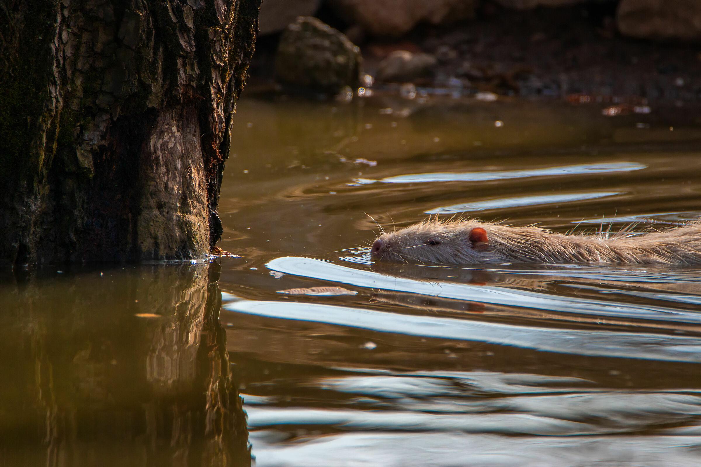 White Nutria-Swim...