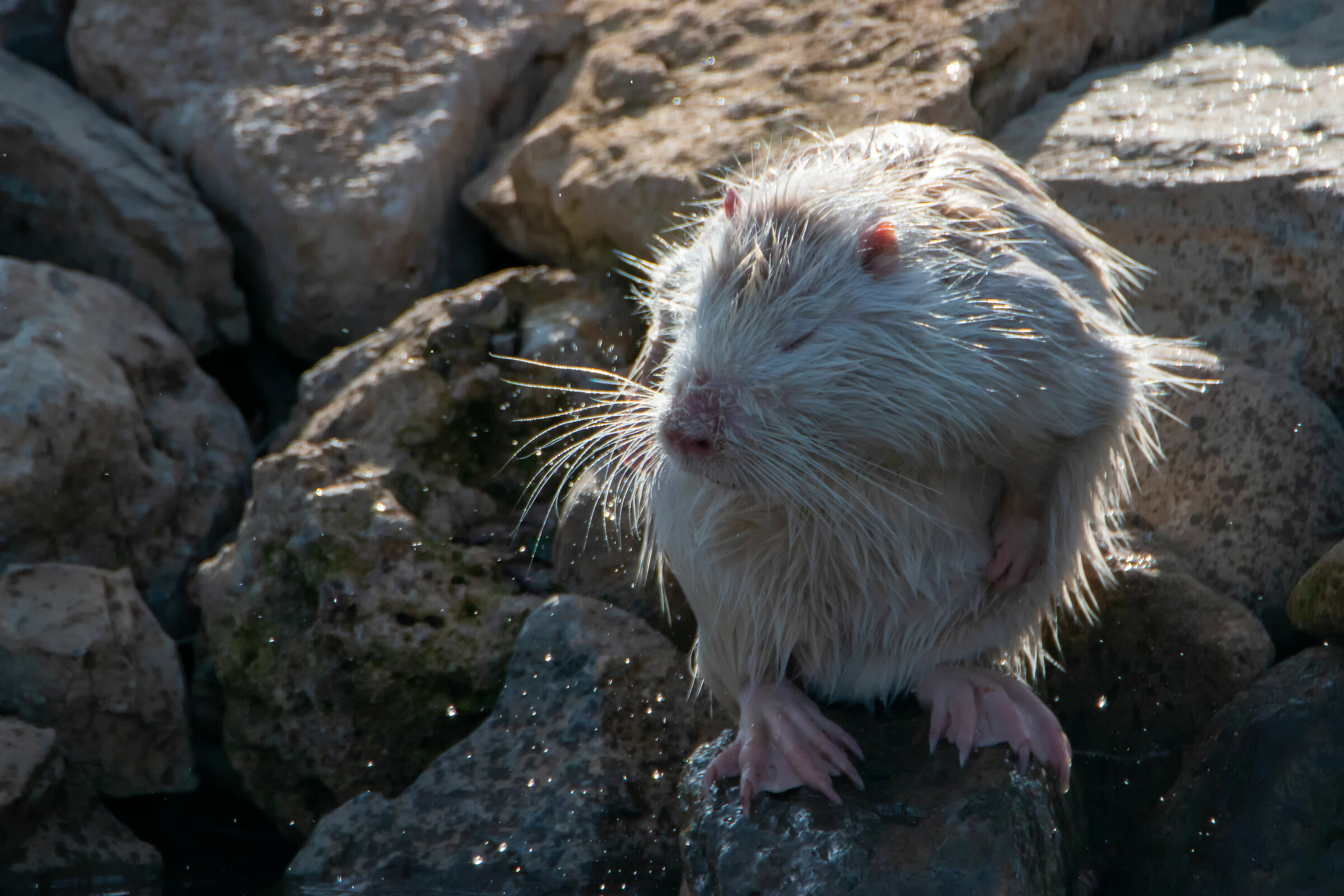 White Nutria-Cleaning 3...