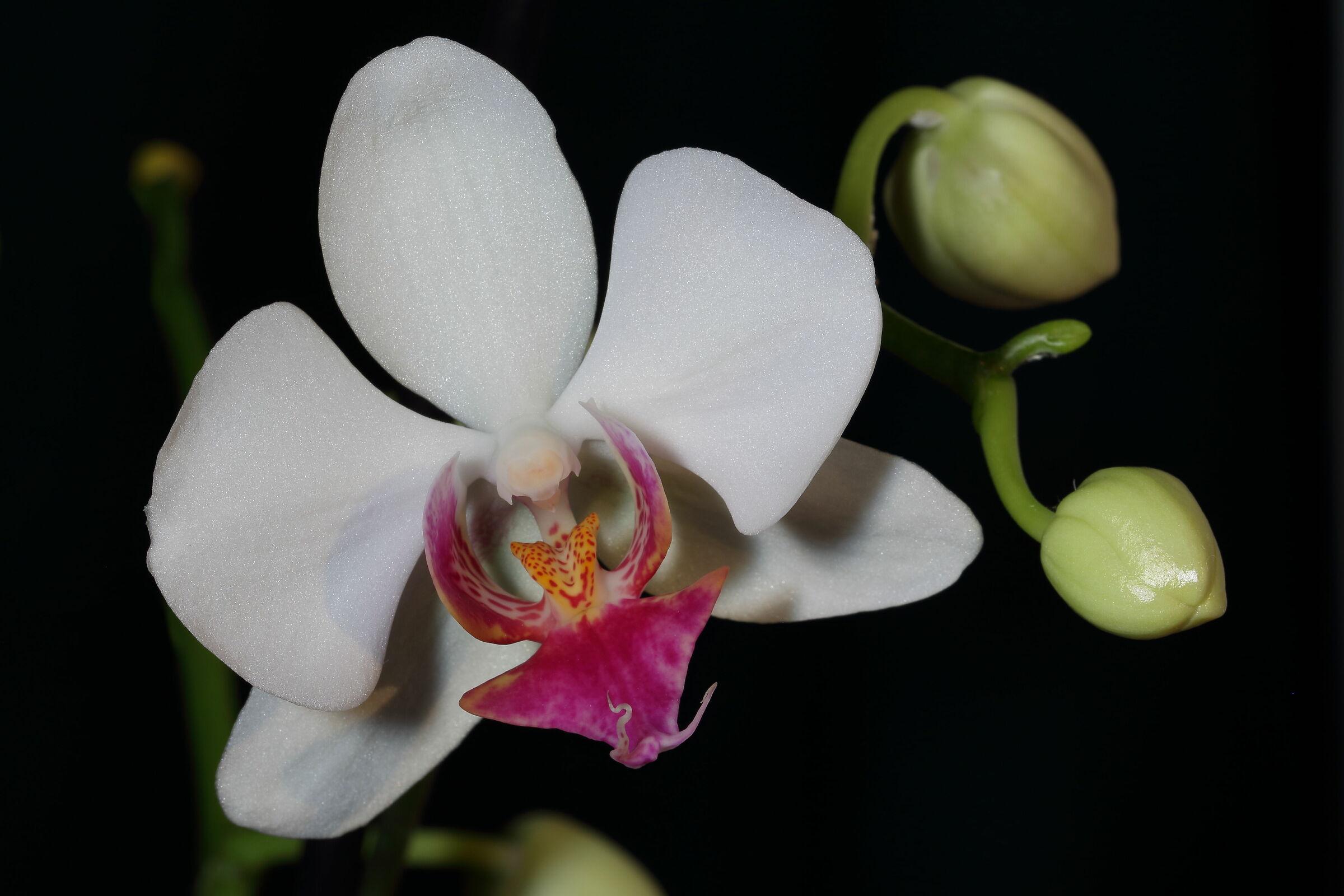 Phalaenopsis New 1...