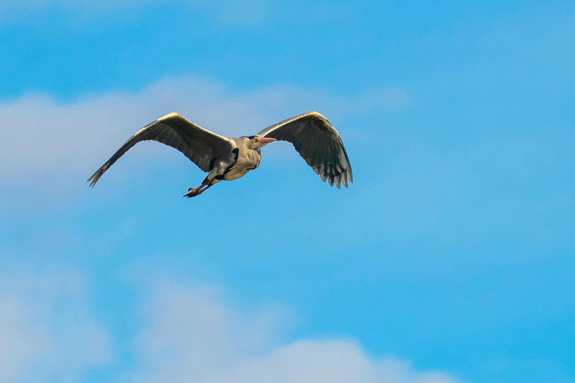 Heron in the Blue...