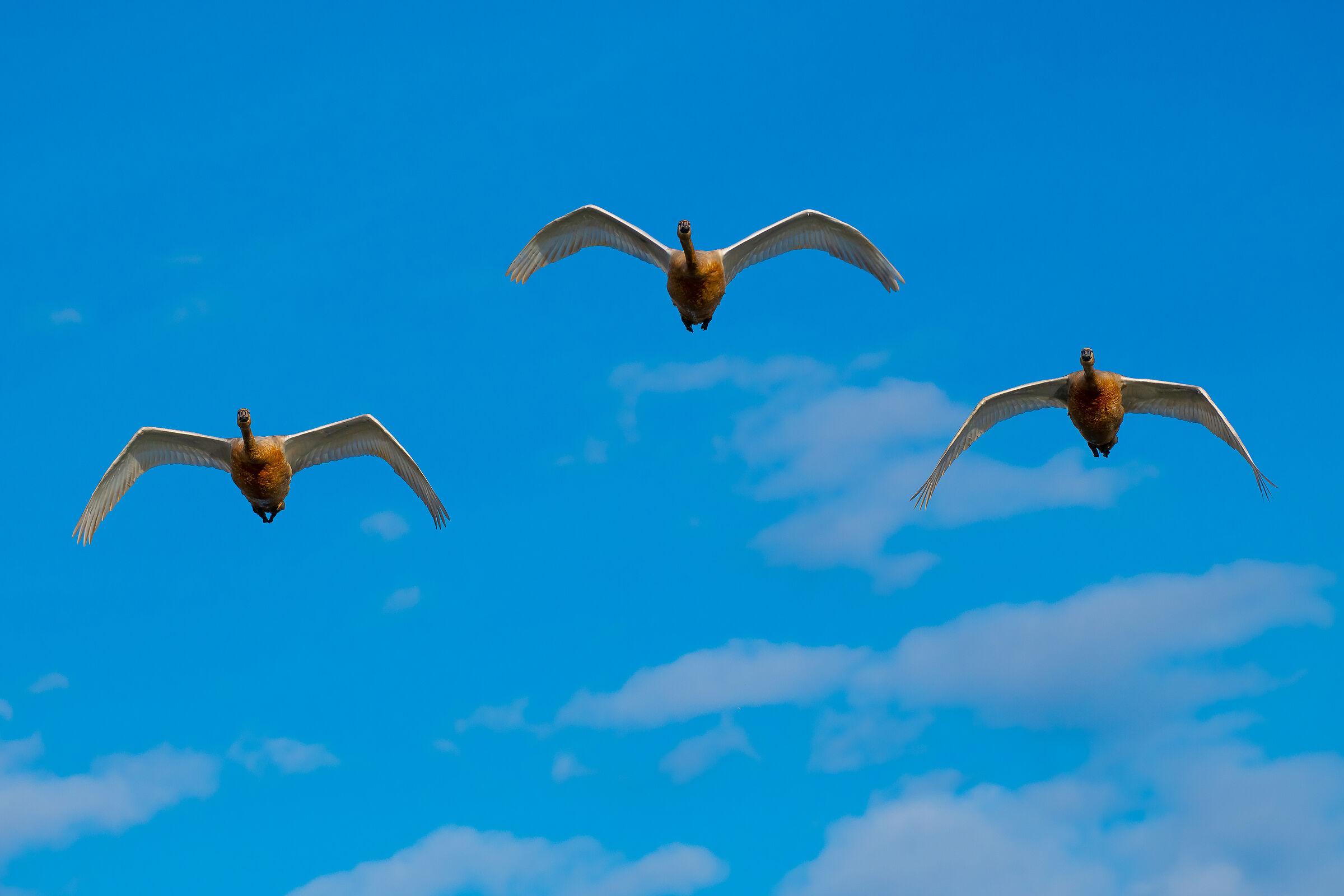 The Swan flight...