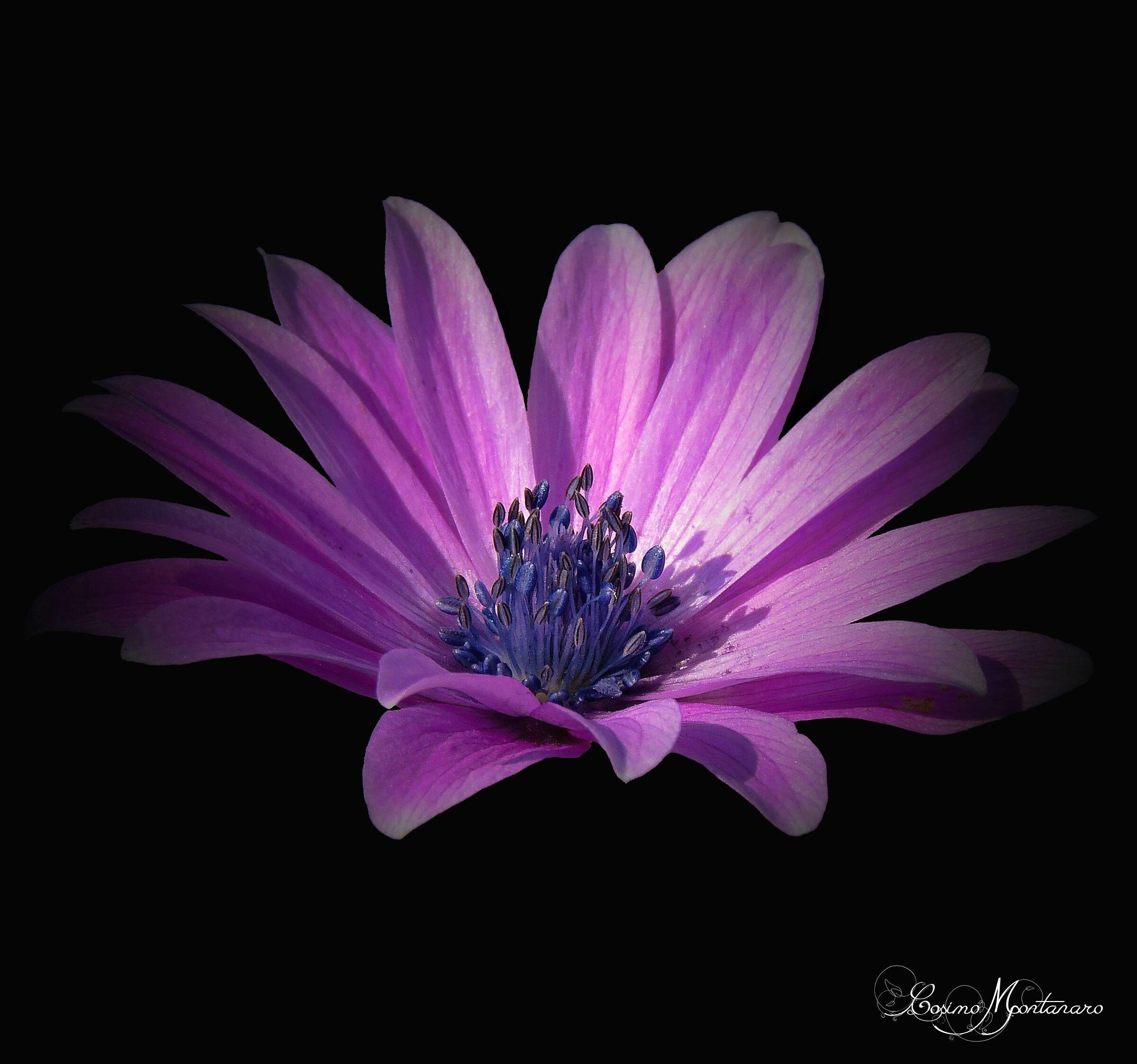 Anemone hortensis ...