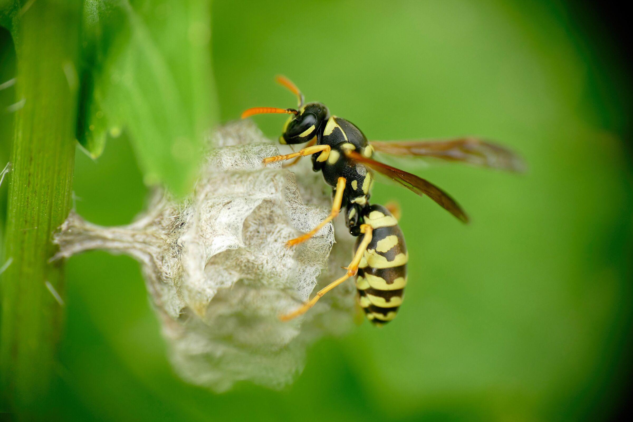 Hymenoptera > Apocrita > Vespula germanica 3...