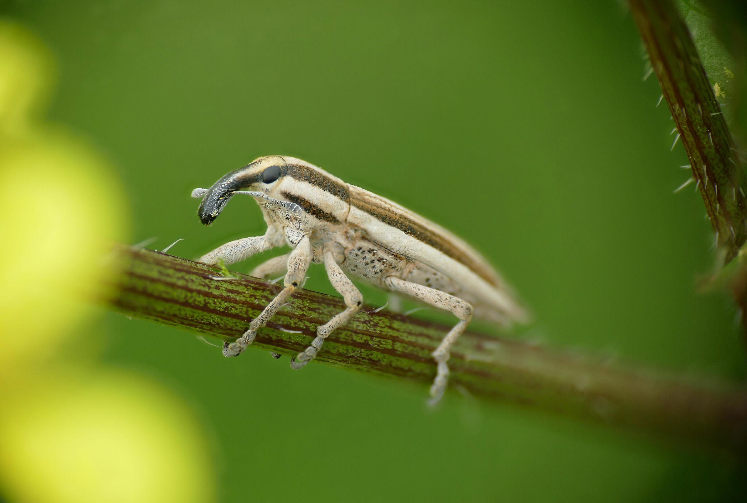 Coleoptera > Curculionoidea > Lixoglyptus spartii...