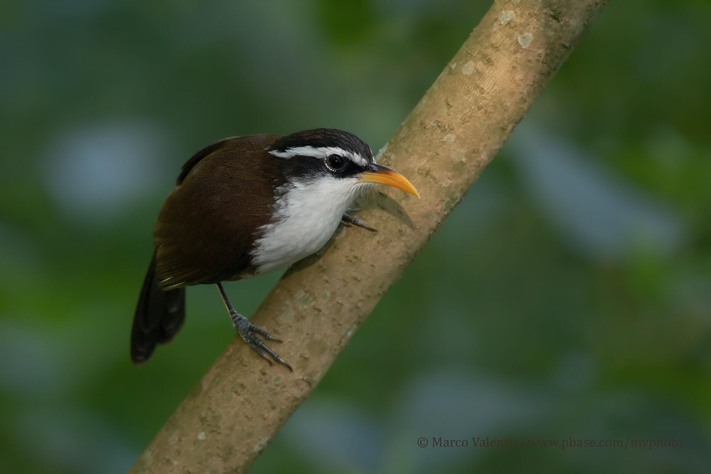 Sri Lanka Scimitar-billed Babbler...