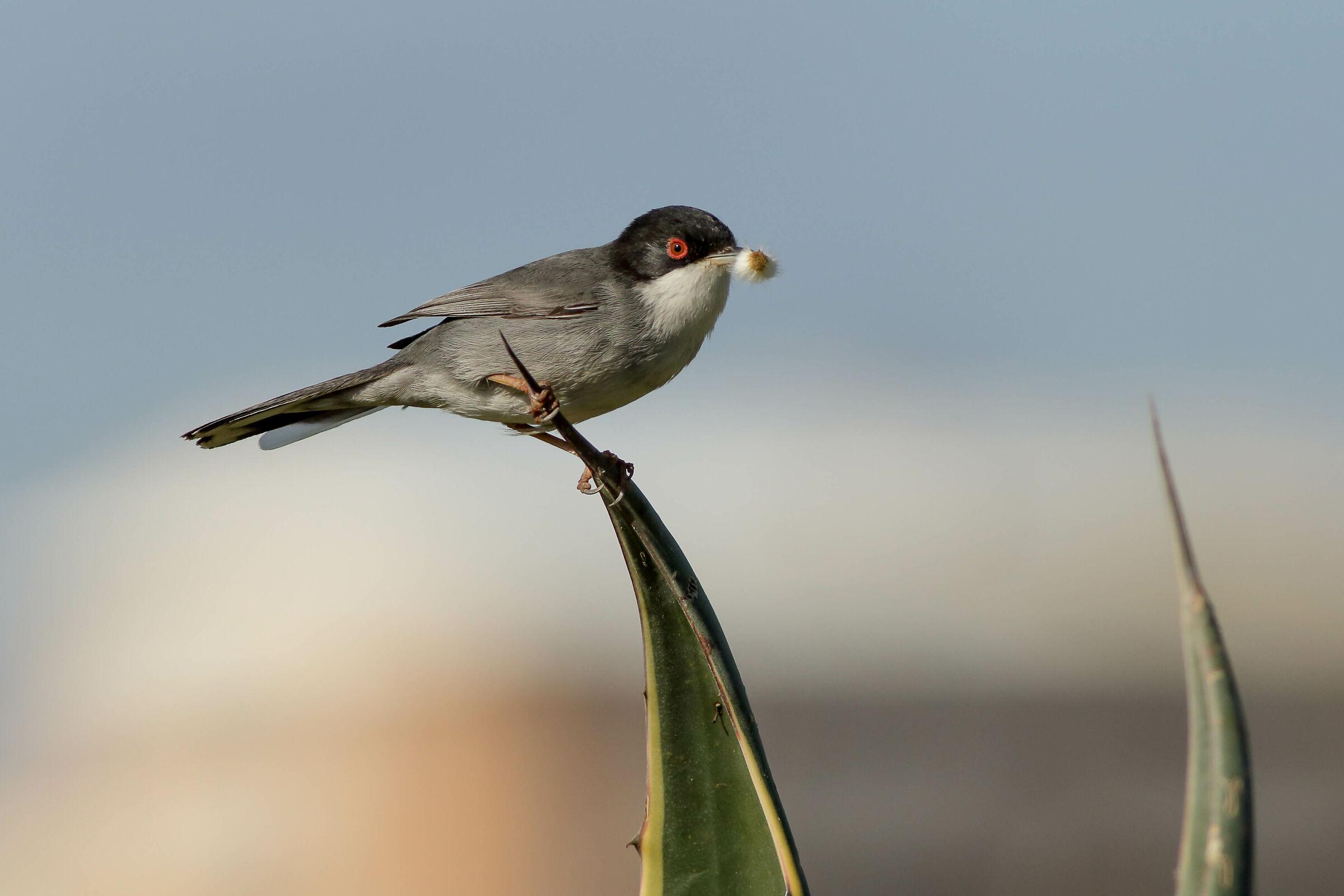 Sardinian Warbler...