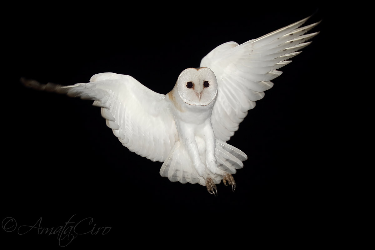 Barn Owl in flight...