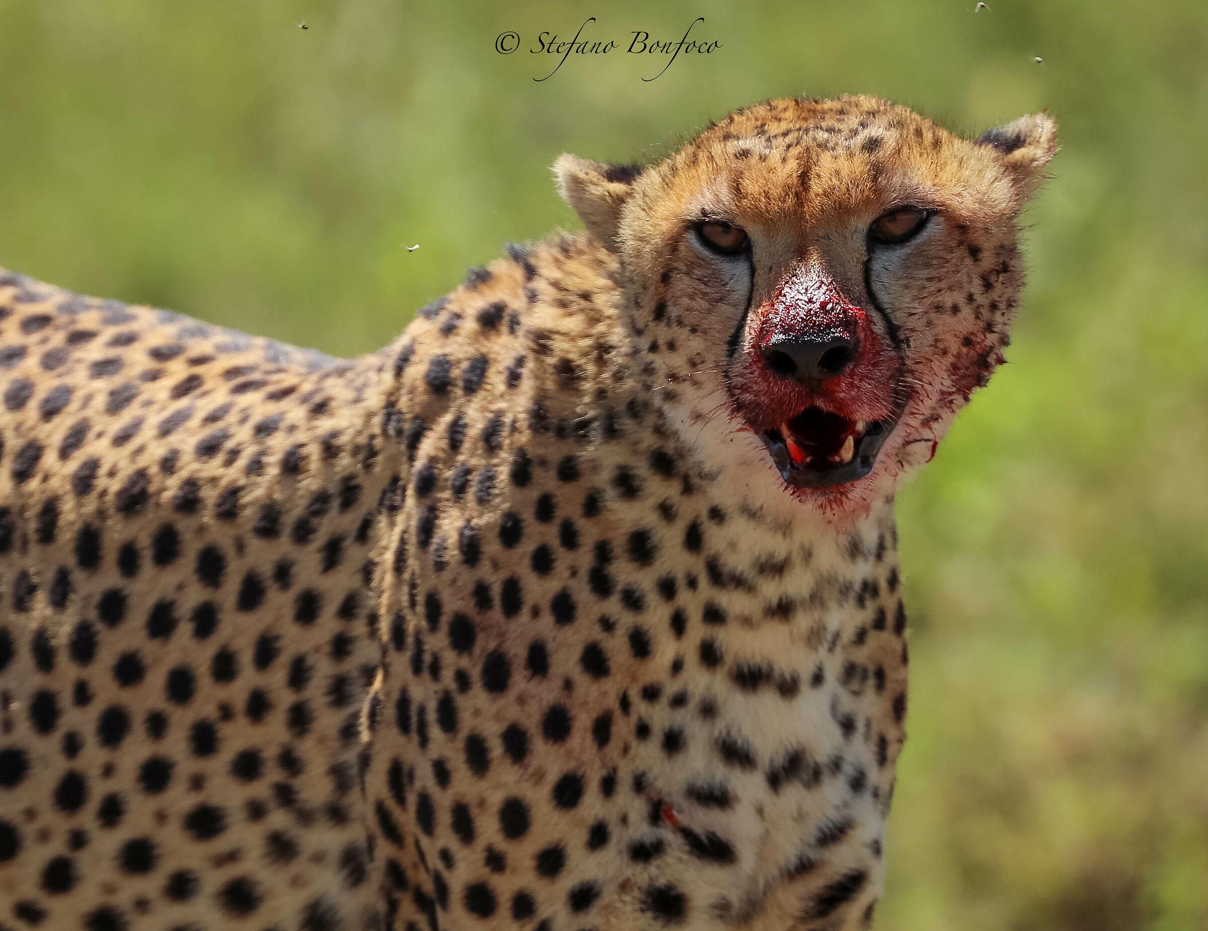 Ghepardo (Acinonyx jubatus)...