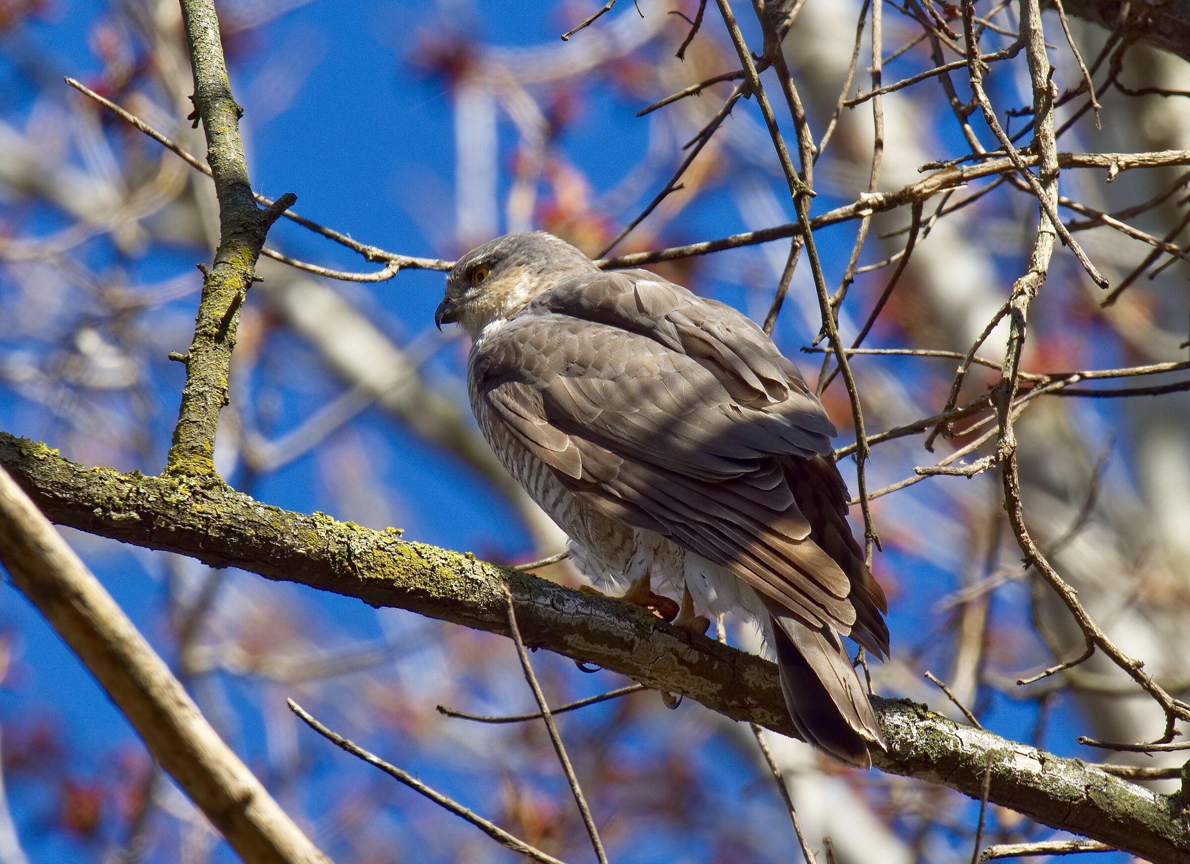 My first Sparrow Hawk...