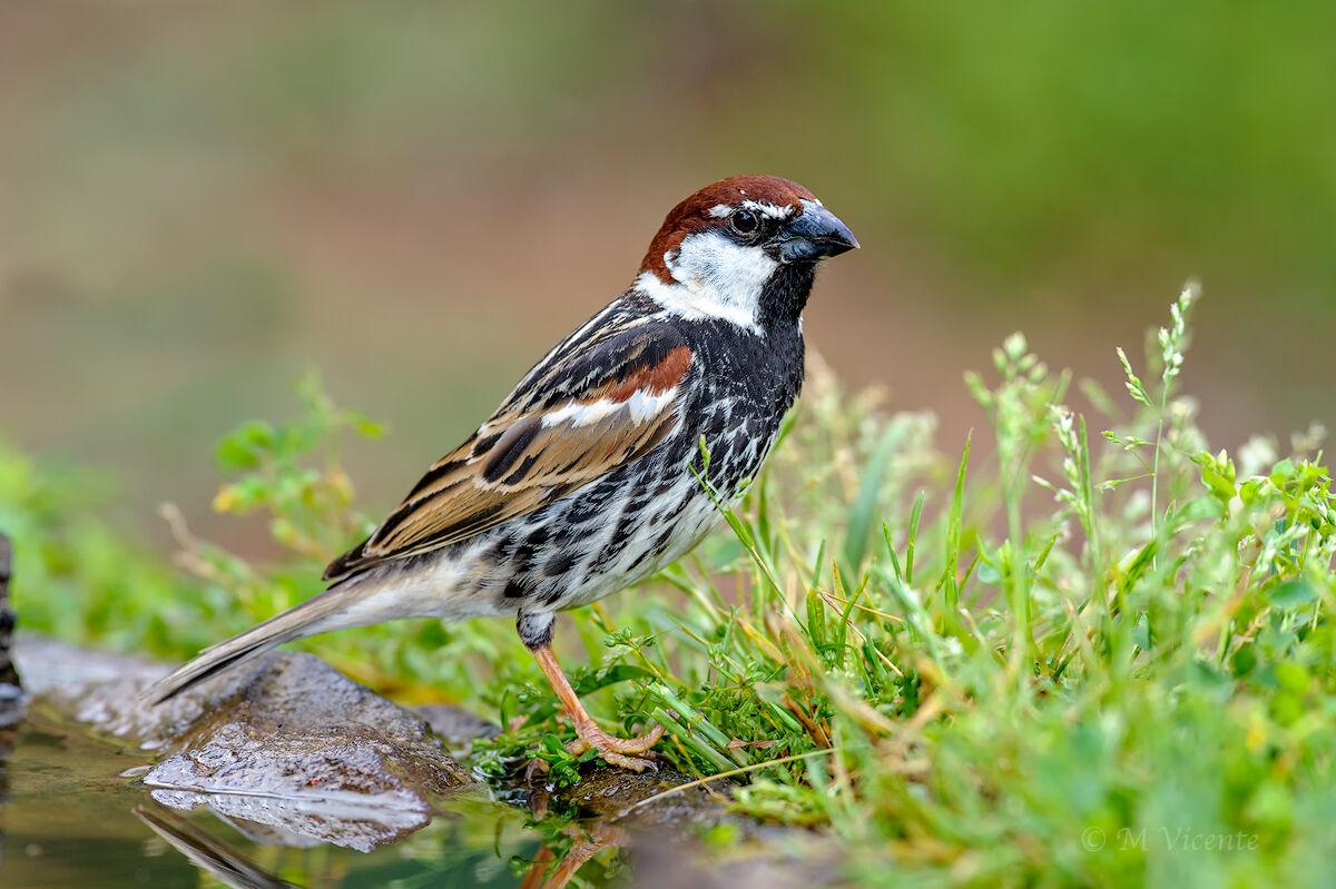 Spanish Sparrow...