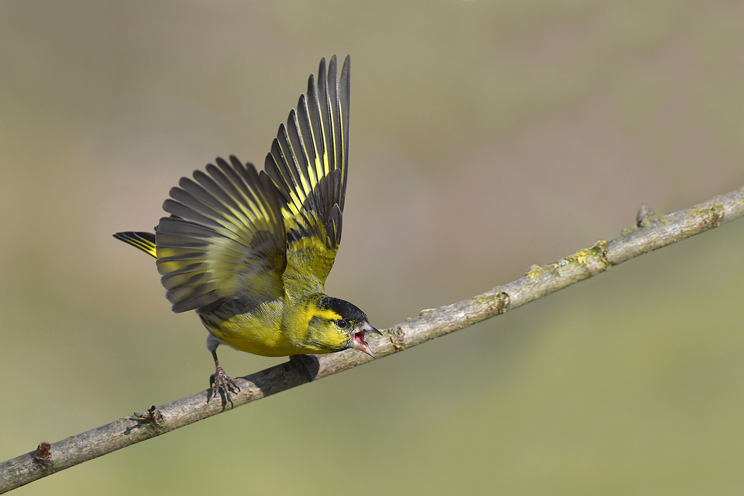 Stories of Feathers 6 (Siskin)...
