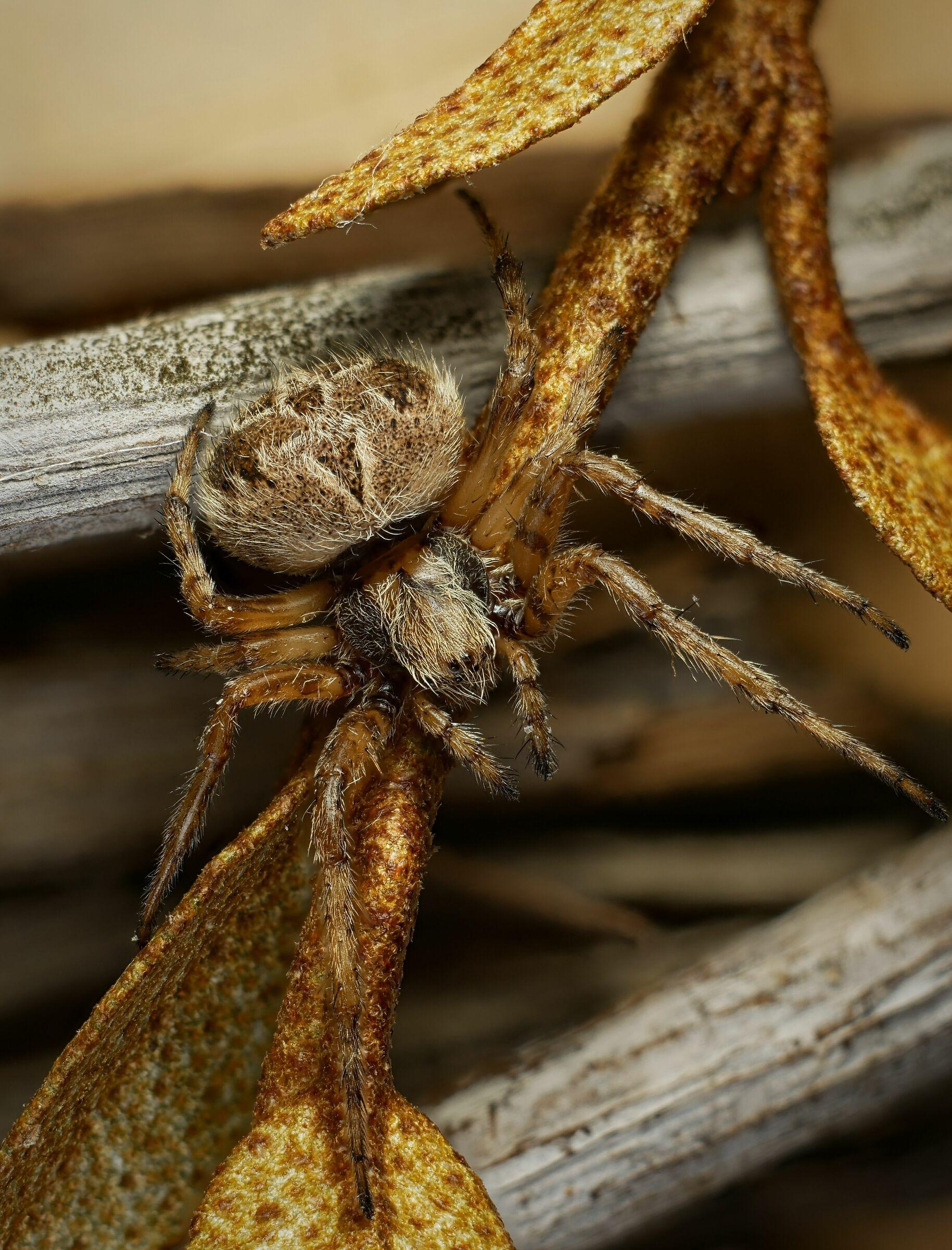 Araneidae > Araneinae > Agalenatea redii?...