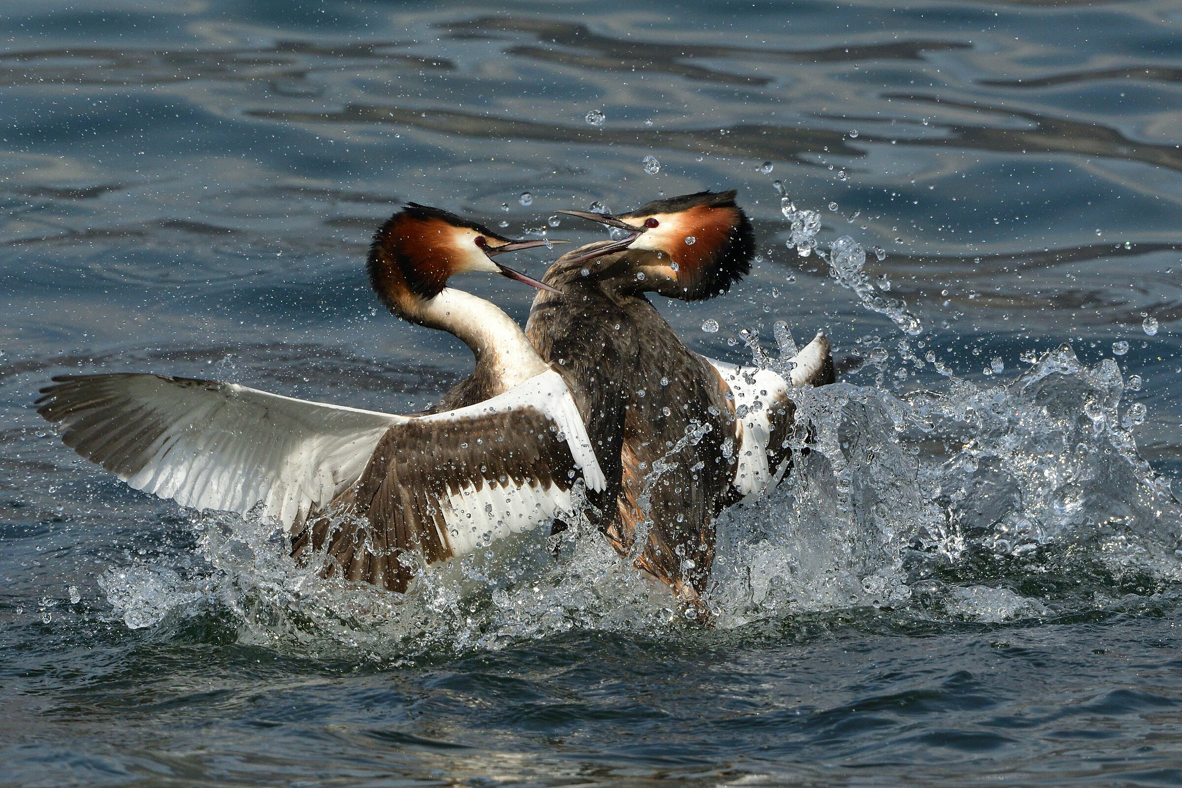 Grebe Magg.-A rather lively discussion-Iseo...