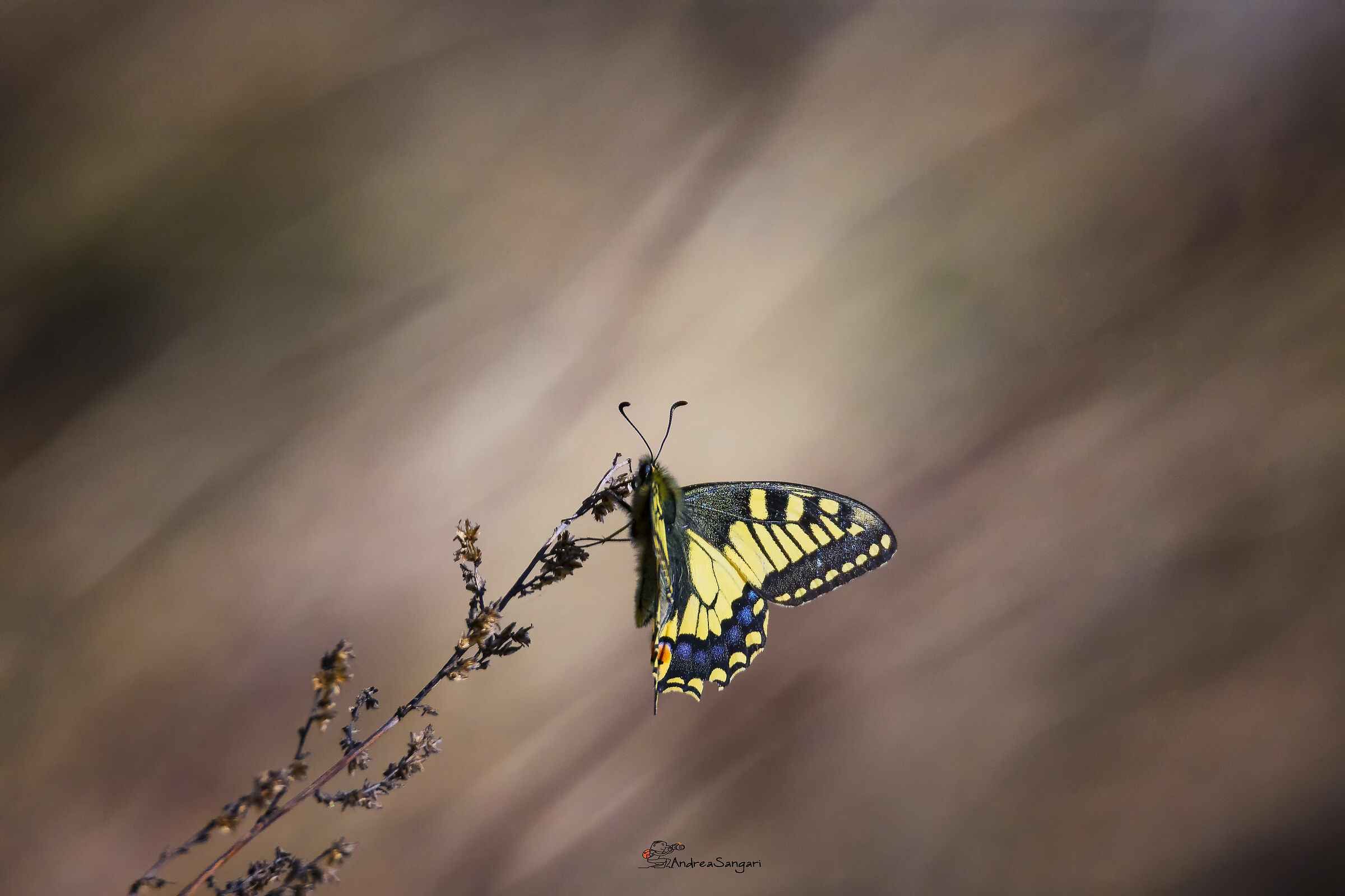 A beautiful Swallowtail...