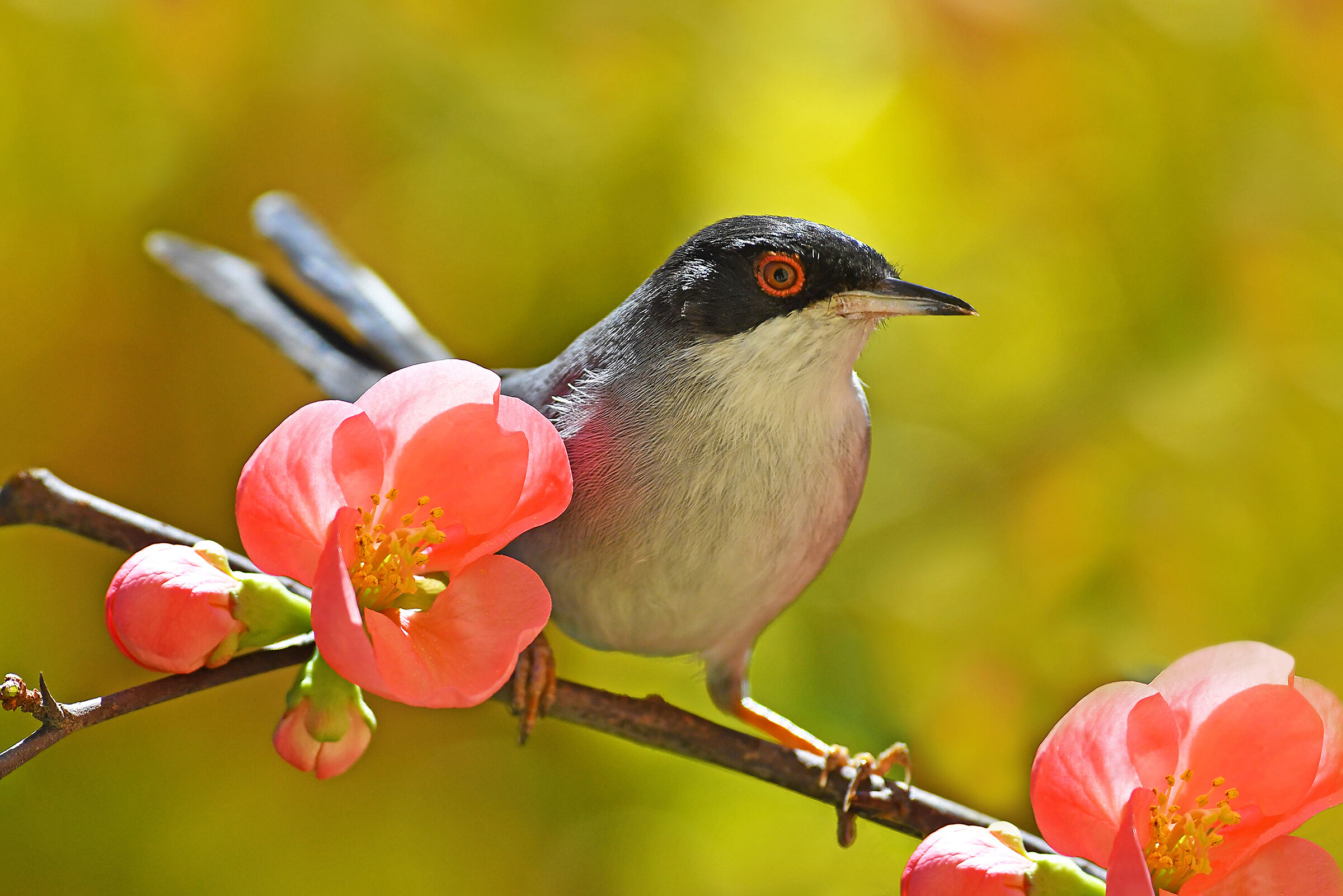 Welcome back to Spring (Sardinian Warbler)...