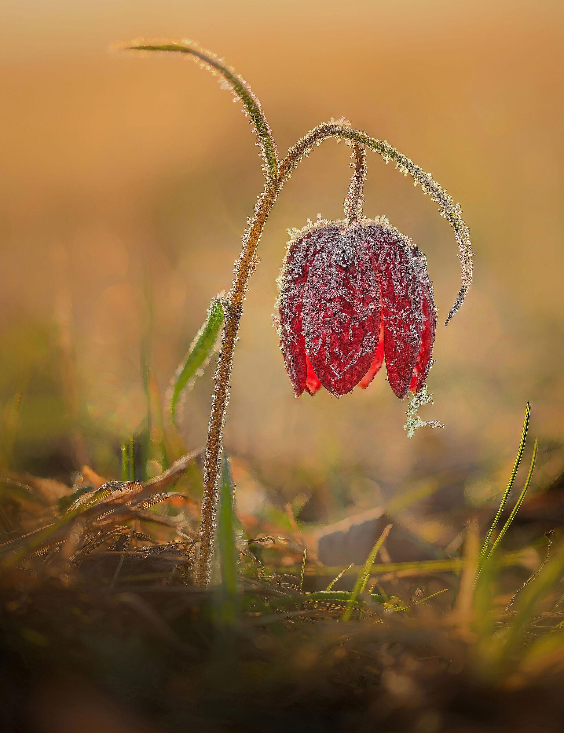 Fritillary flower...
