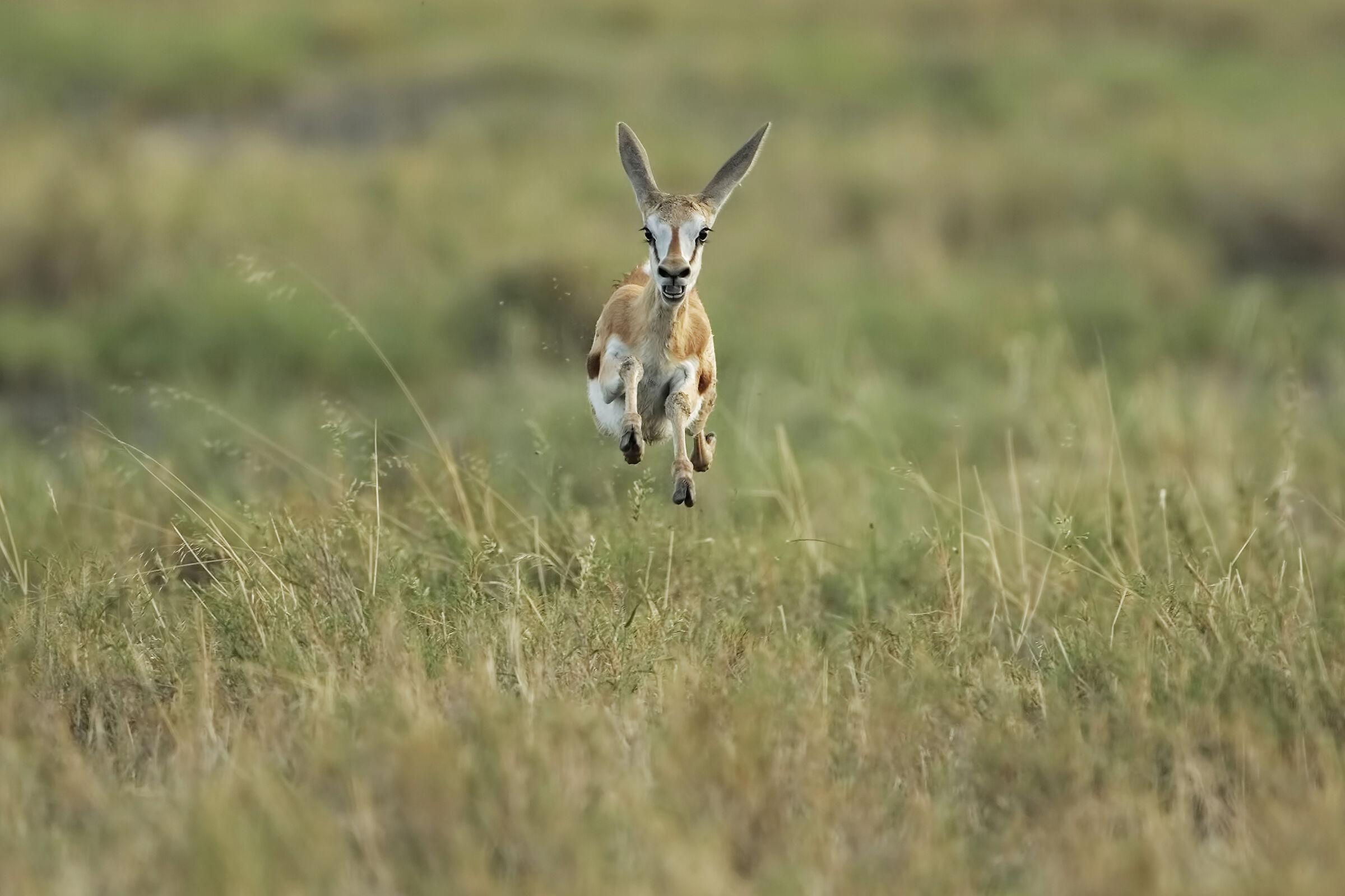 Young Springbok...