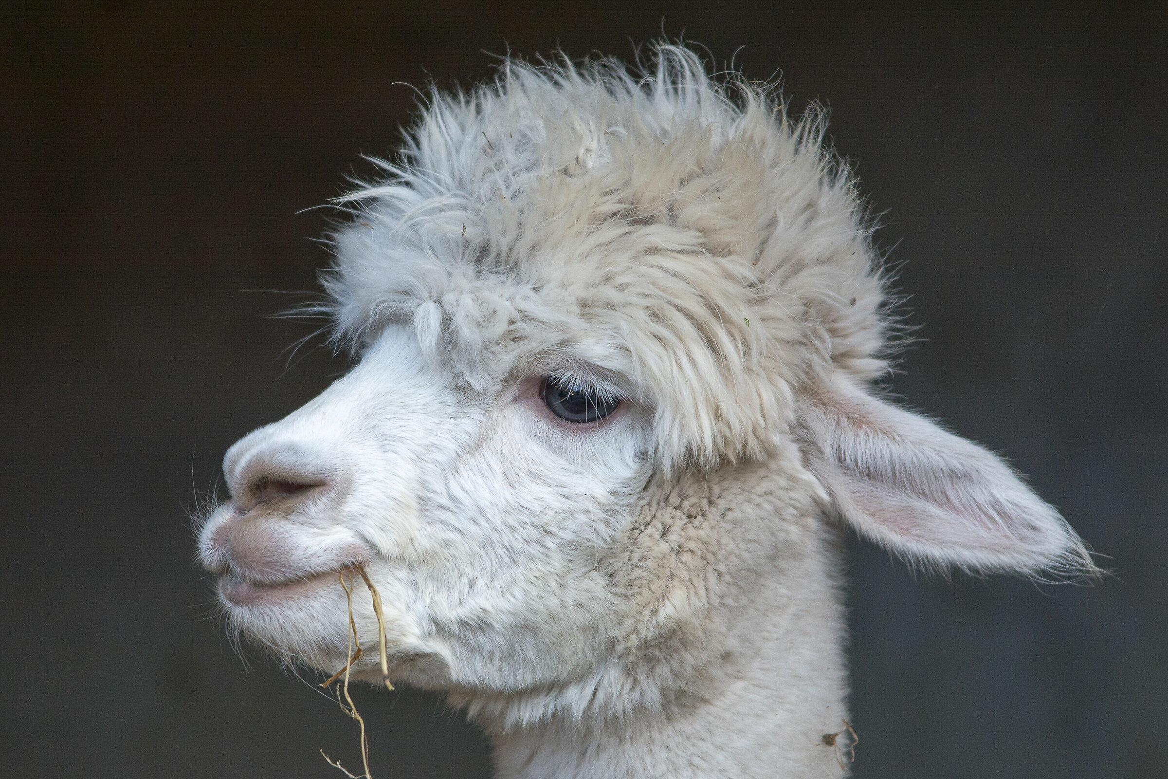 The Cute Alpaca...