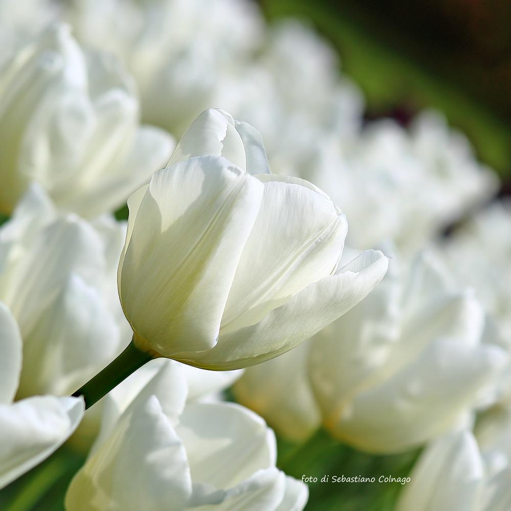 Tulipanomania...