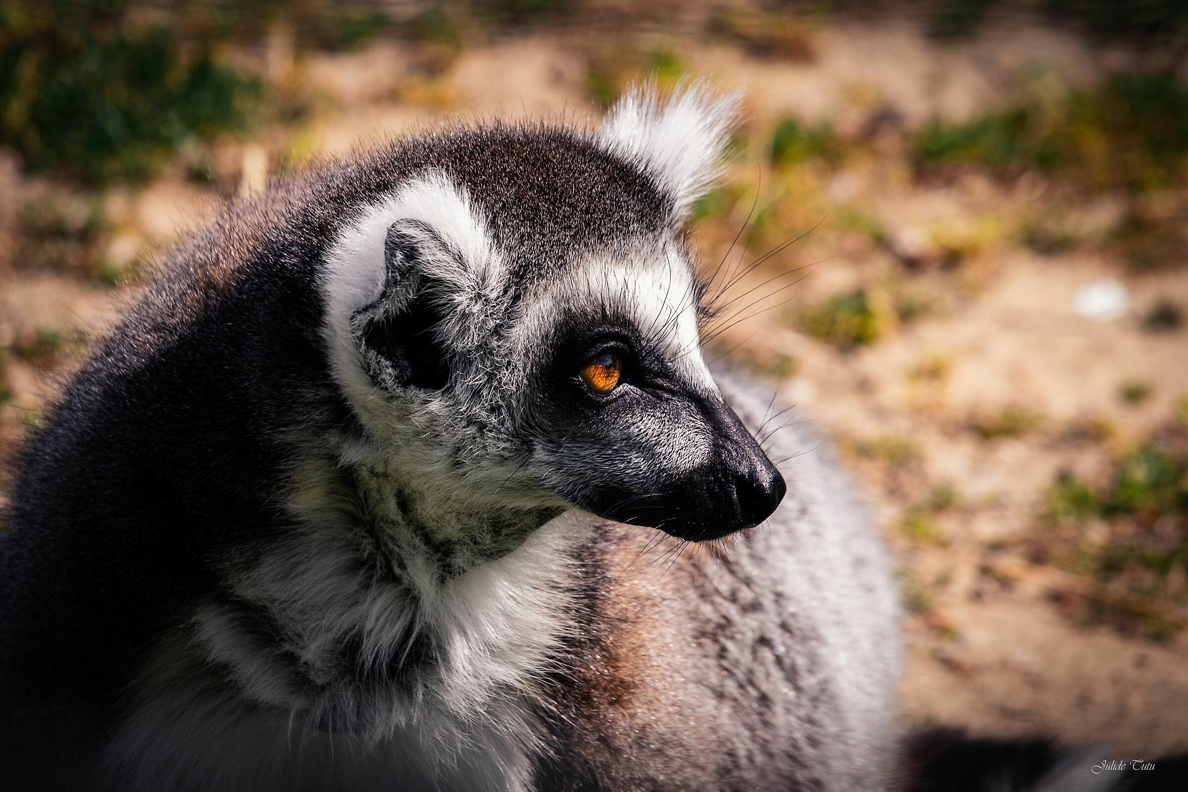 A Lemur's Portrait...