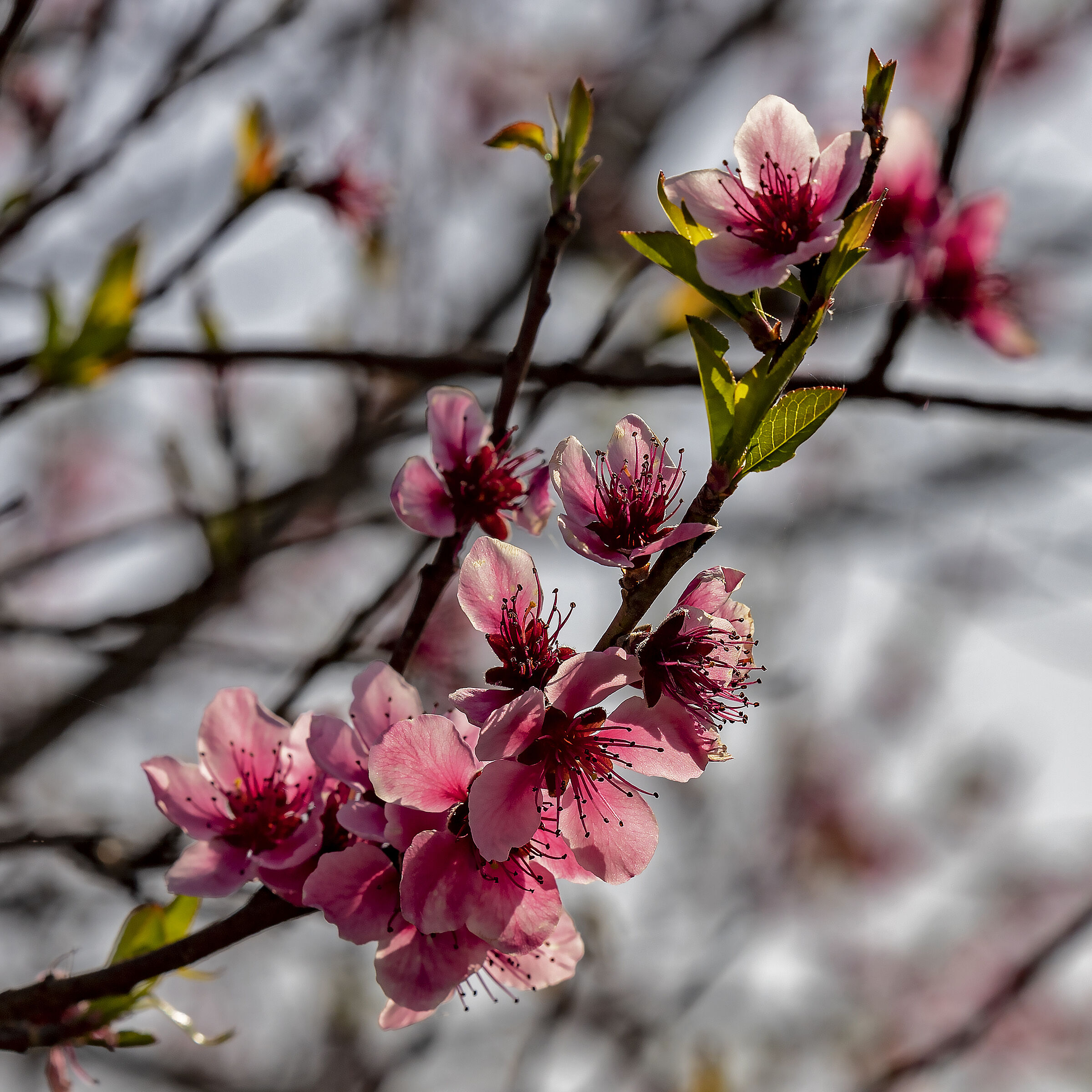 Pink Flowers, peach blossoms, you were there...