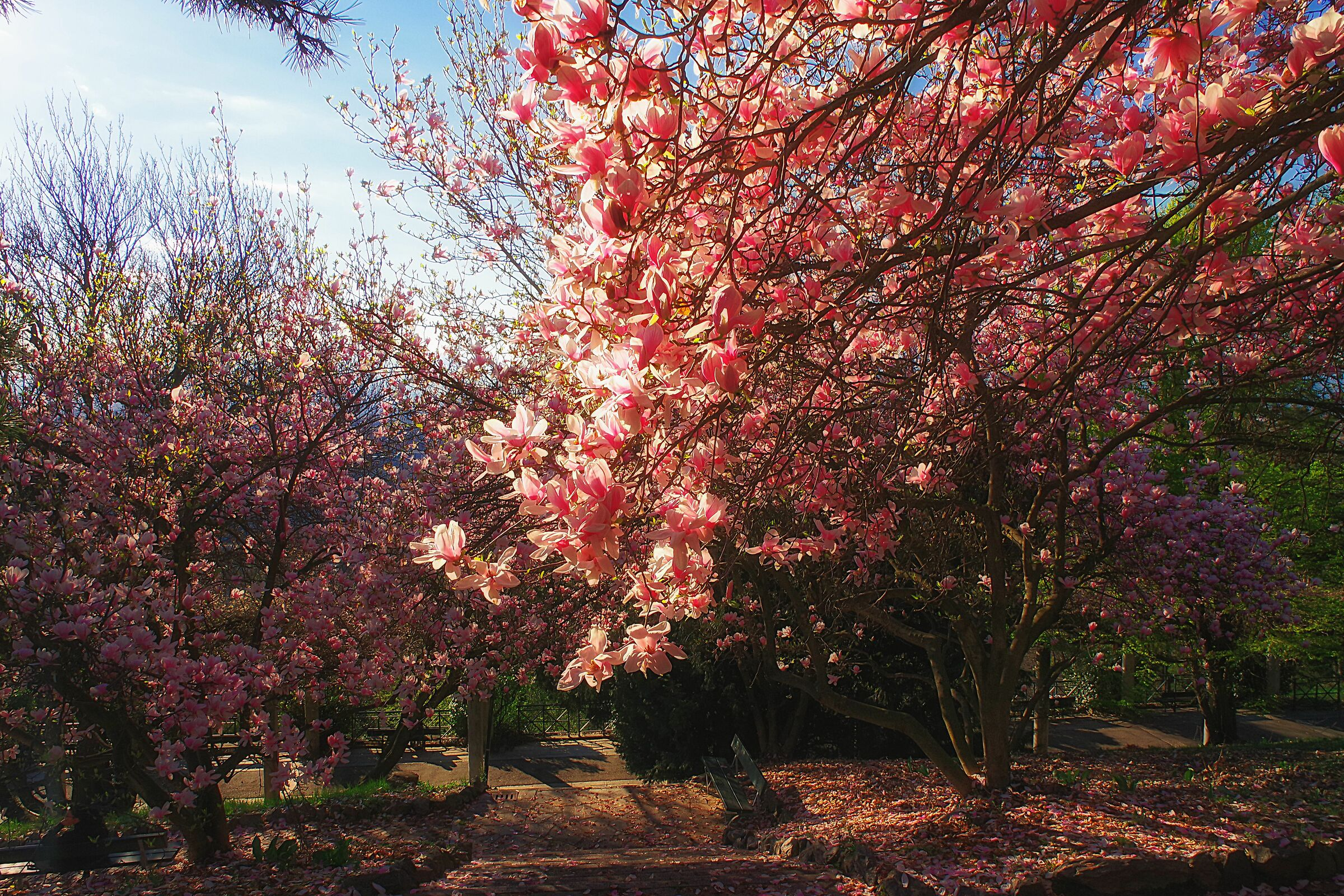 Flowering of Magnolias at the Europa Park of Turin...