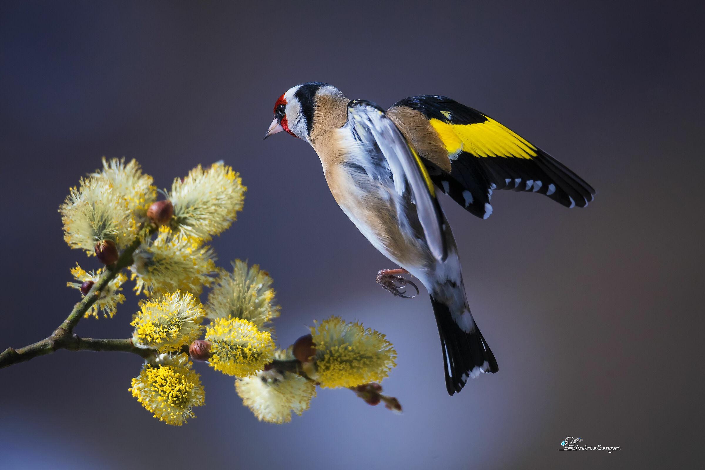 Spring Goldfinch...